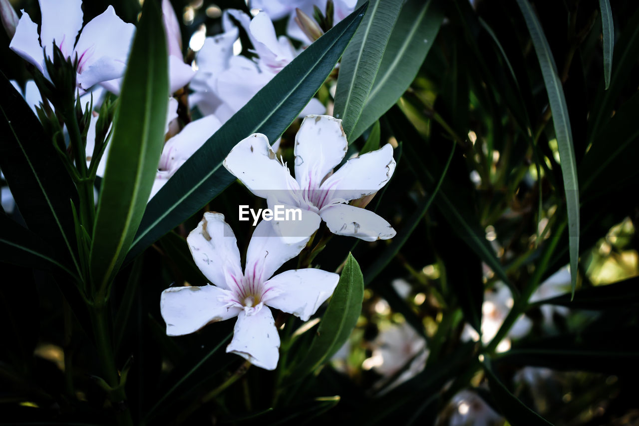 flower, petal, growth, beauty in nature, nature, freshness, white color, fragility, periwinkle, flower head, leaf, plant, blooming, outdoors, no people, day, close-up, frangipani