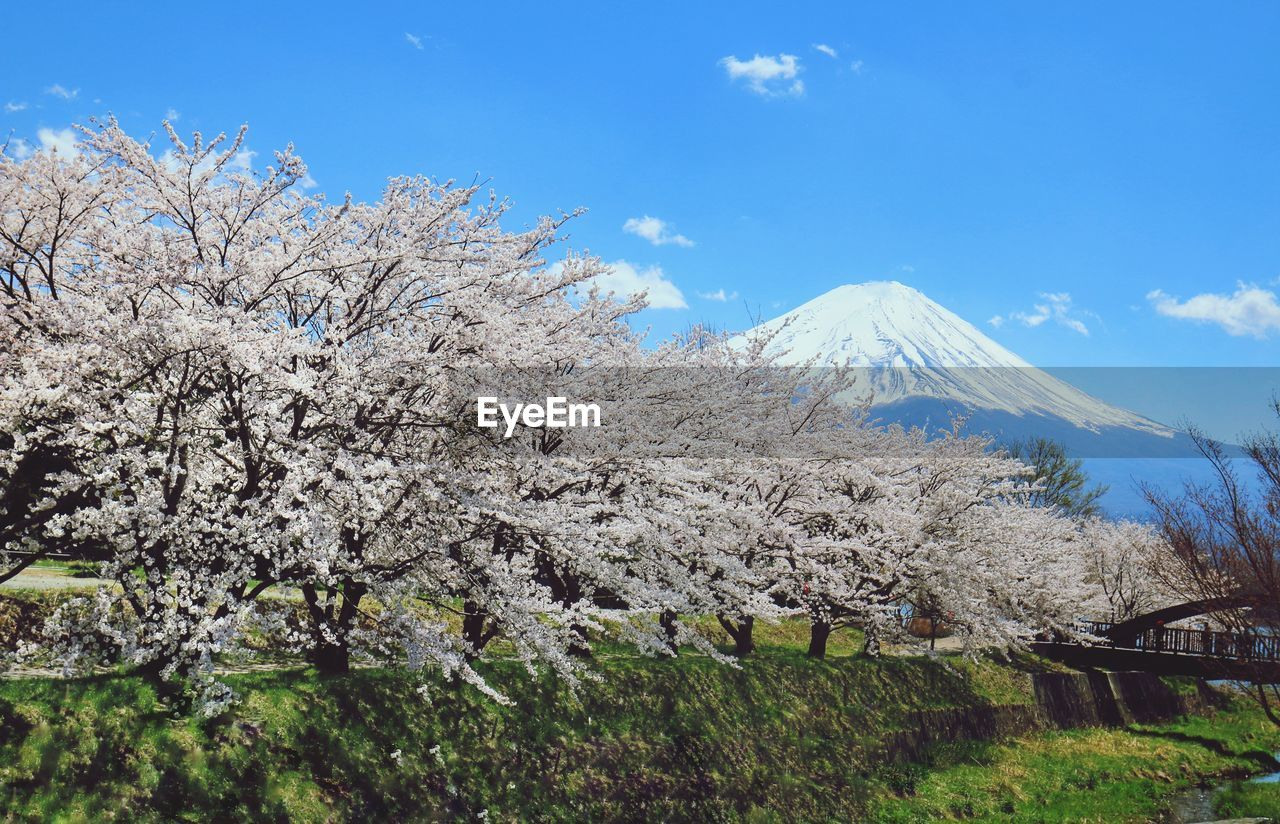 plant, beauty in nature, mountain, sky, tree, scenics - nature, flower, nature, flowering plant, growth, tranquil scene, day, tranquility, blossom, no people, springtime, land, cloud - sky, idyllic, landscape, cherry blossom, outdoors, snowcapped mountain, mountain peak