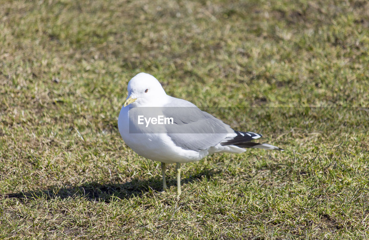 bird, animal themes, vertebrate, animals in the wild, animal, one animal, animal wildlife, grass, plant, day, no people, white color, land, nature, field, seagull, focus on foreground, perching, green color, outdoors