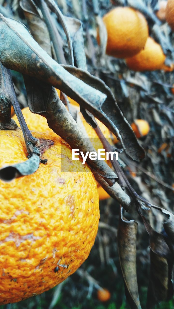 orange color, fruit, close-up, food and drink, no people, food, citrus fruit, day, freshness, outdoors, healthy eating, pumpkin, nature