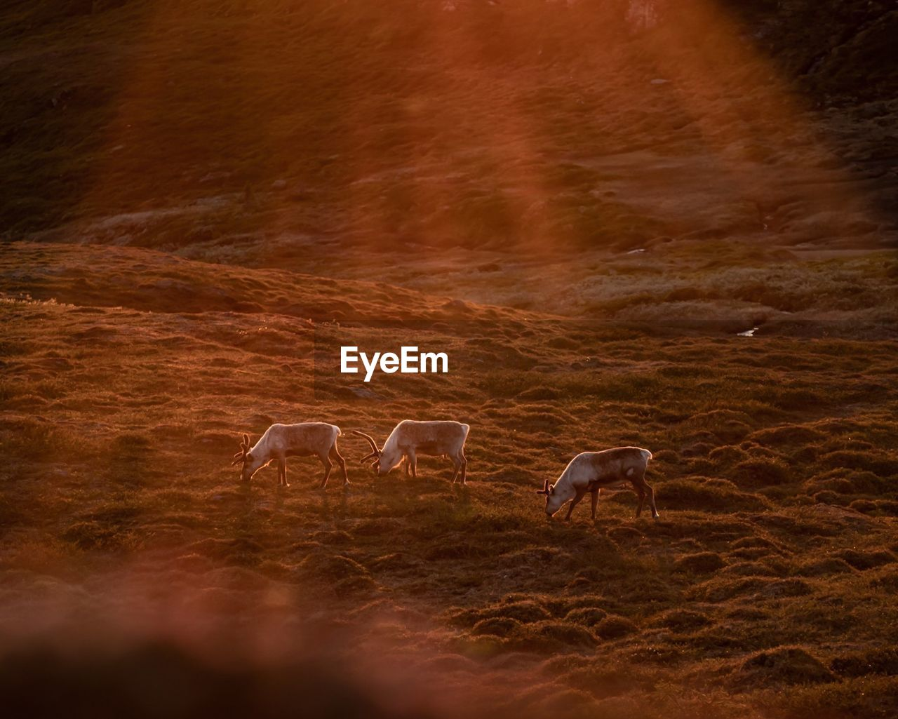 animal, mammal, animal themes, group of animals, vertebrate, animal wildlife, domestic animals, land, livestock, no people, field, nature, animals in the wild, domestic, grazing, beauty in nature, pets, cattle, two animals, sunset, outdoors, herbivorous