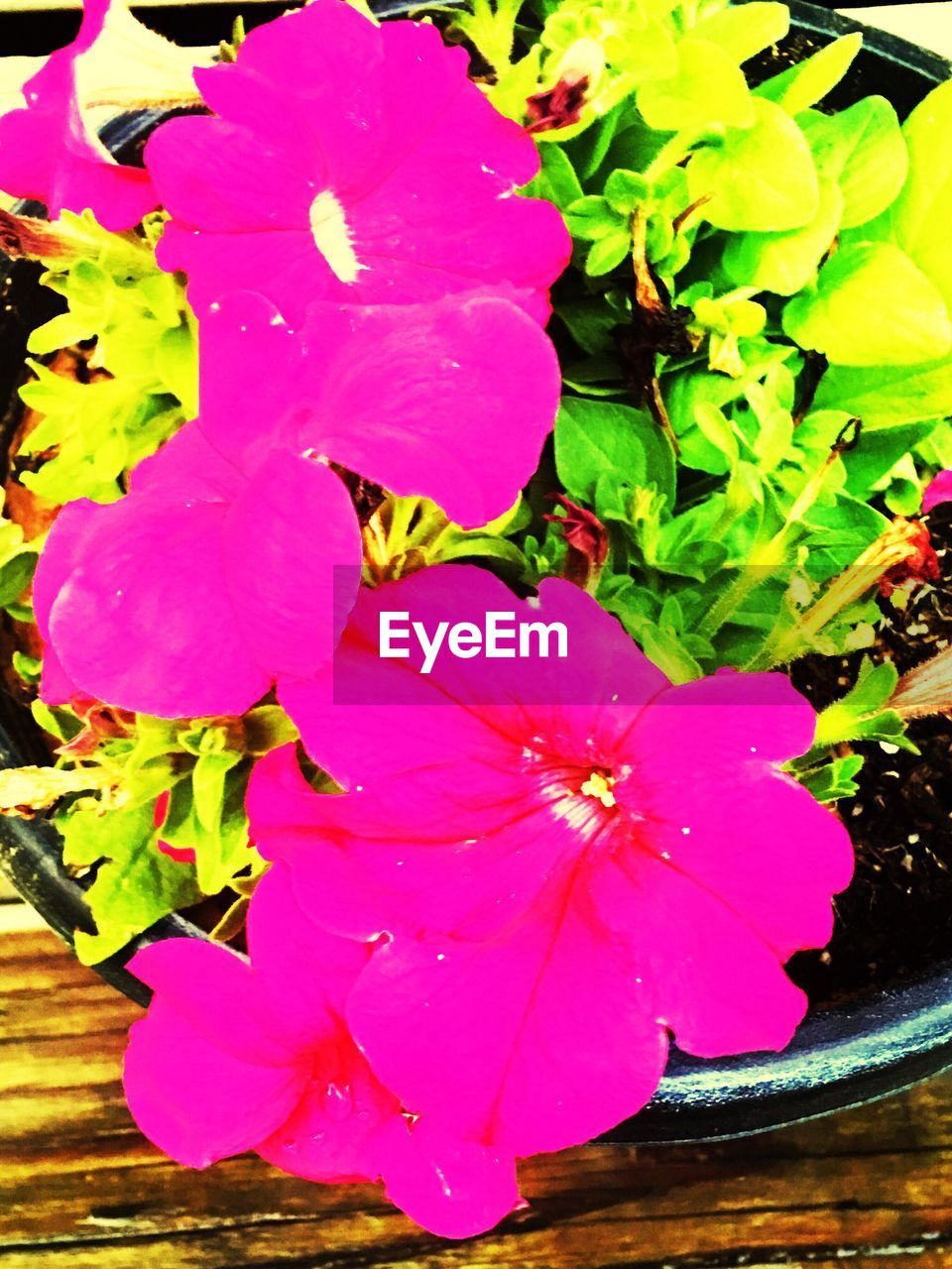 flower, petal, fragility, beauty in nature, no people, nature, growth, flower head, freshness, water, day, plant, outdoors, close-up, leaf, petunia