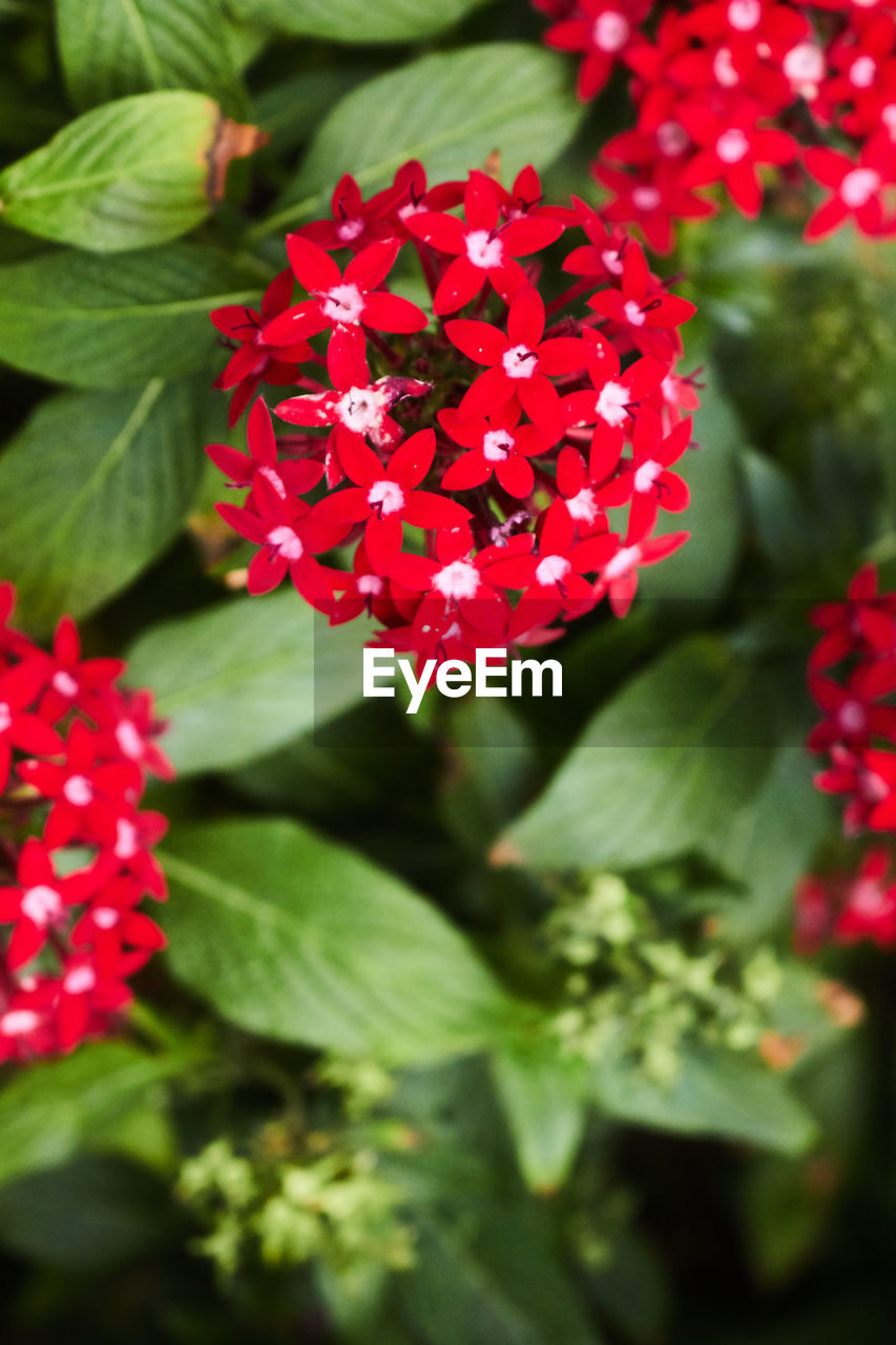 red, growth, ixora, beauty in nature, freshness, nature, flower, petal, blooming, fragility, flower head, day, plant, green color, outdoors, no people, close-up, zinnia