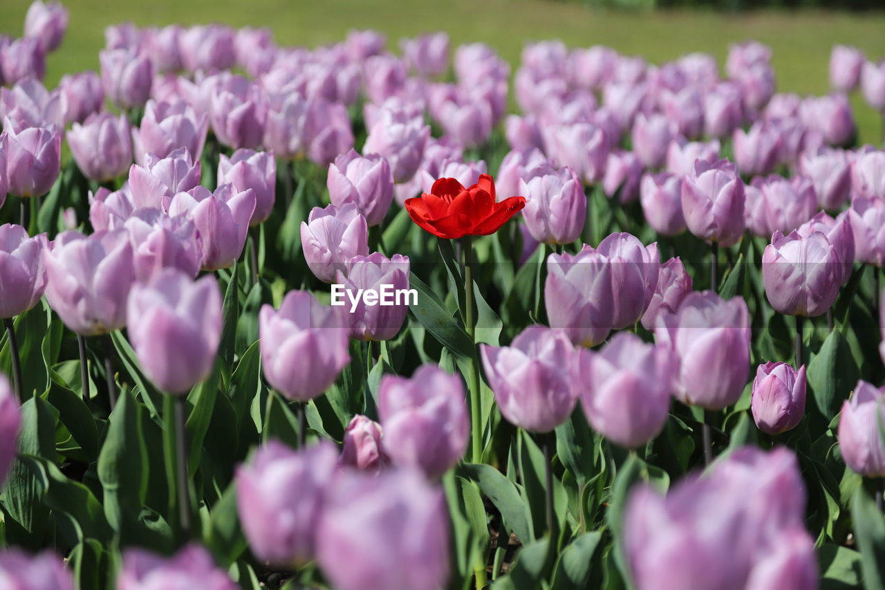 flower, flowering plant, fragility, vulnerability, freshness, plant, beauty in nature, petal, pink color, close-up, growth, flower head, inflorescence, nature, no people, day, plant part, selective focus, leaf, field, outdoors, purple, flowerbed