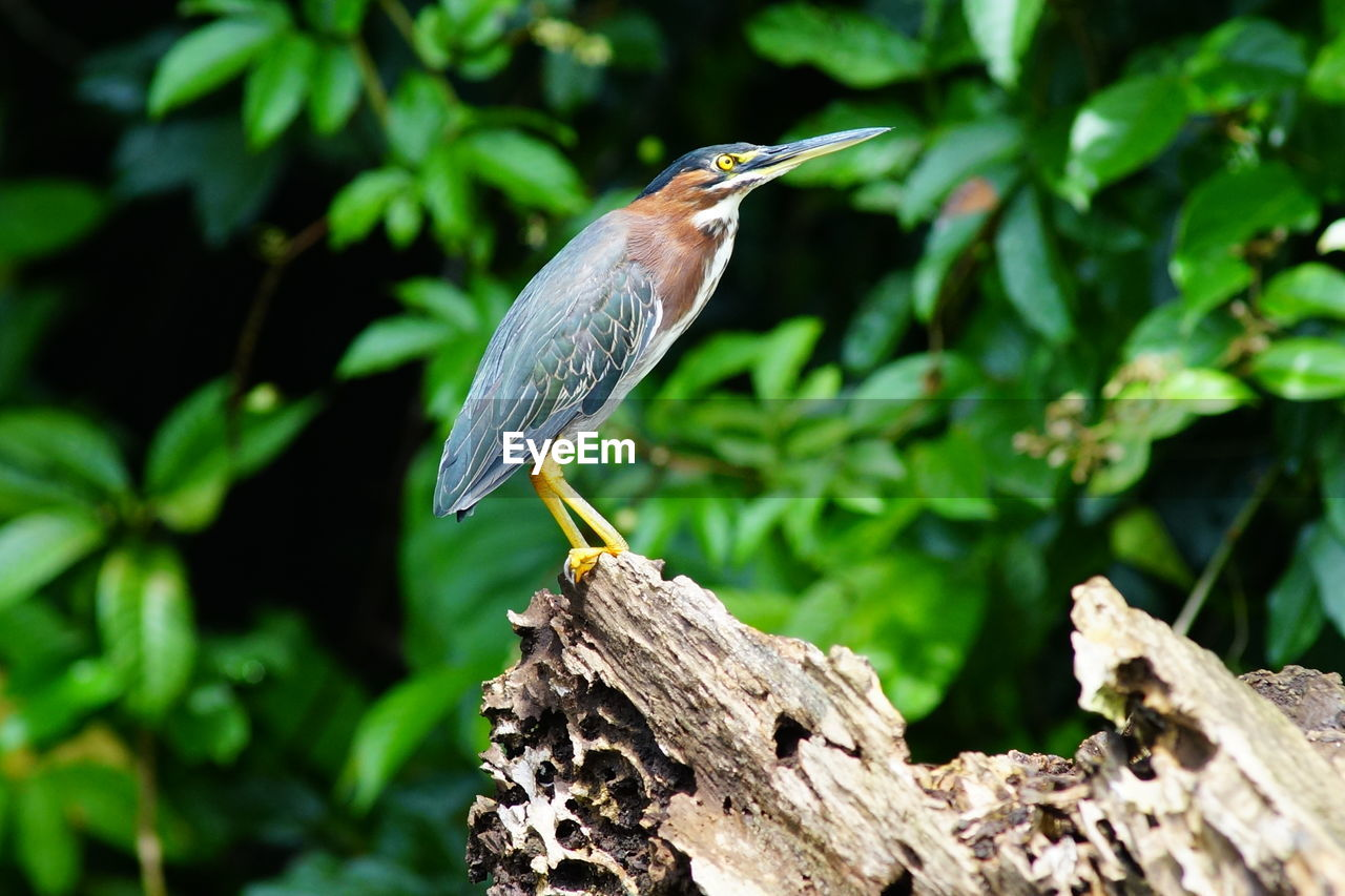 Side view of heron perching on wood