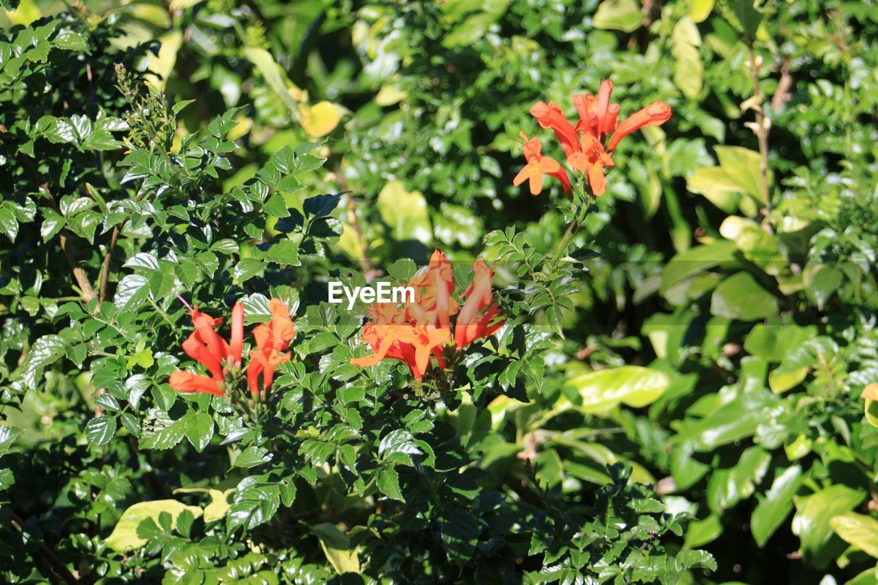 plant, beauty in nature, growth, flowering plant, freshness, green color, plant part, orange color, flower, leaf, vulnerability, nature, no people, fragility, petal, flower head, day, inflorescence, close-up, focus on foreground, outdoors