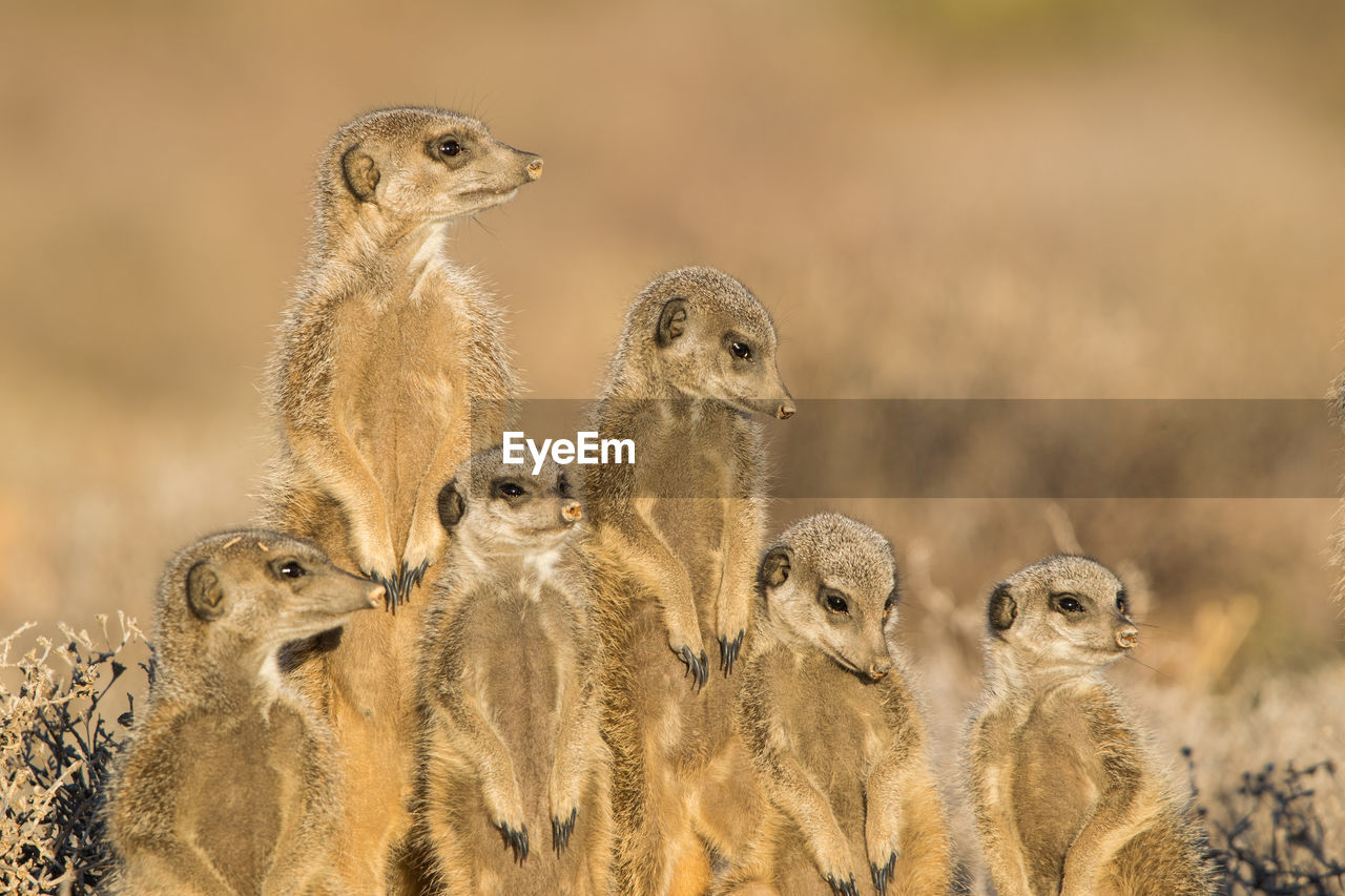 animal themes, animal, animal wildlife, animals in the wild, group of animals, meerkat, vertebrate, no people, focus on foreground, mammal, bird, nature, day, land, looking, togetherness, brown, alertness, young animal, large group of animals, animal head, animal family