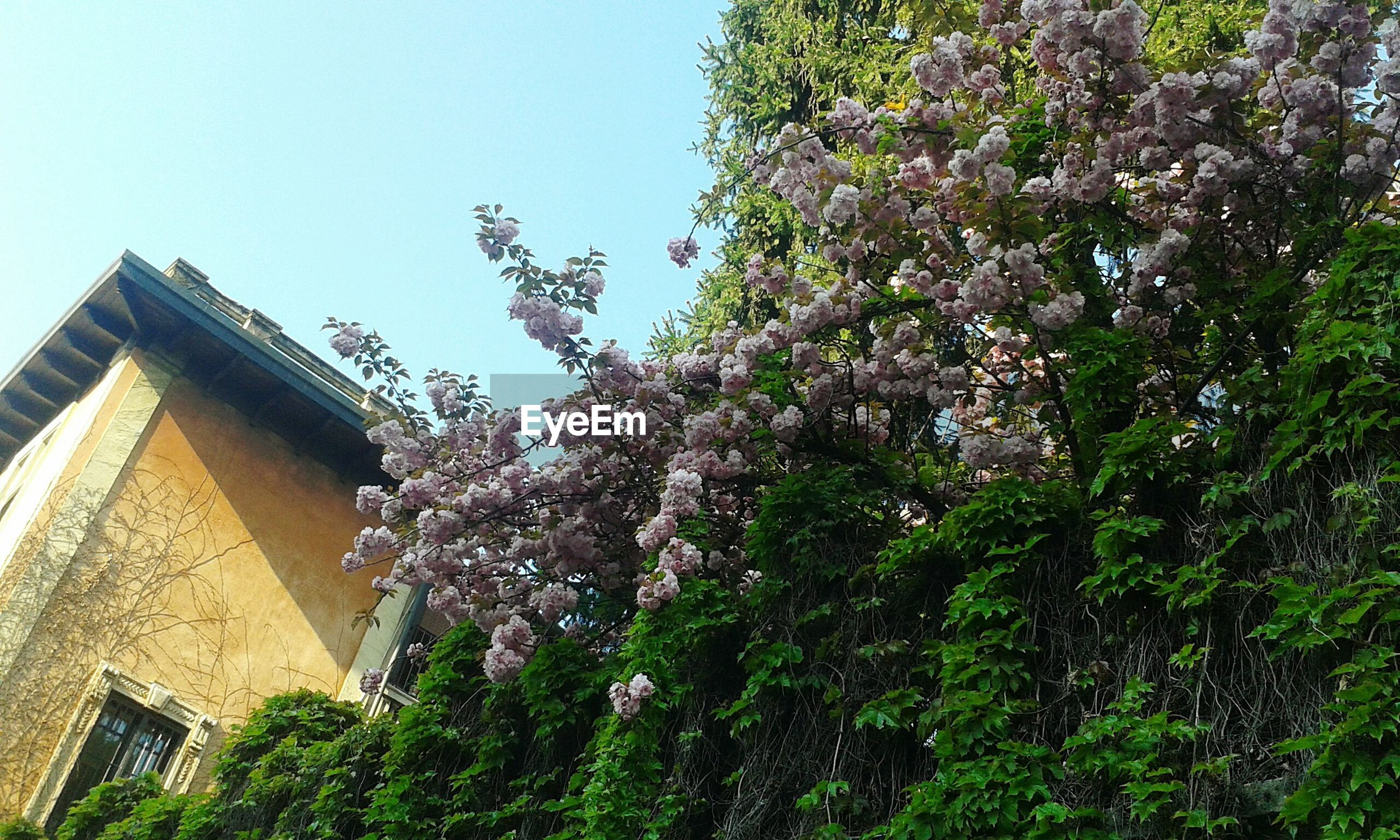 Low angle view of houses and flowering trees against clear sky