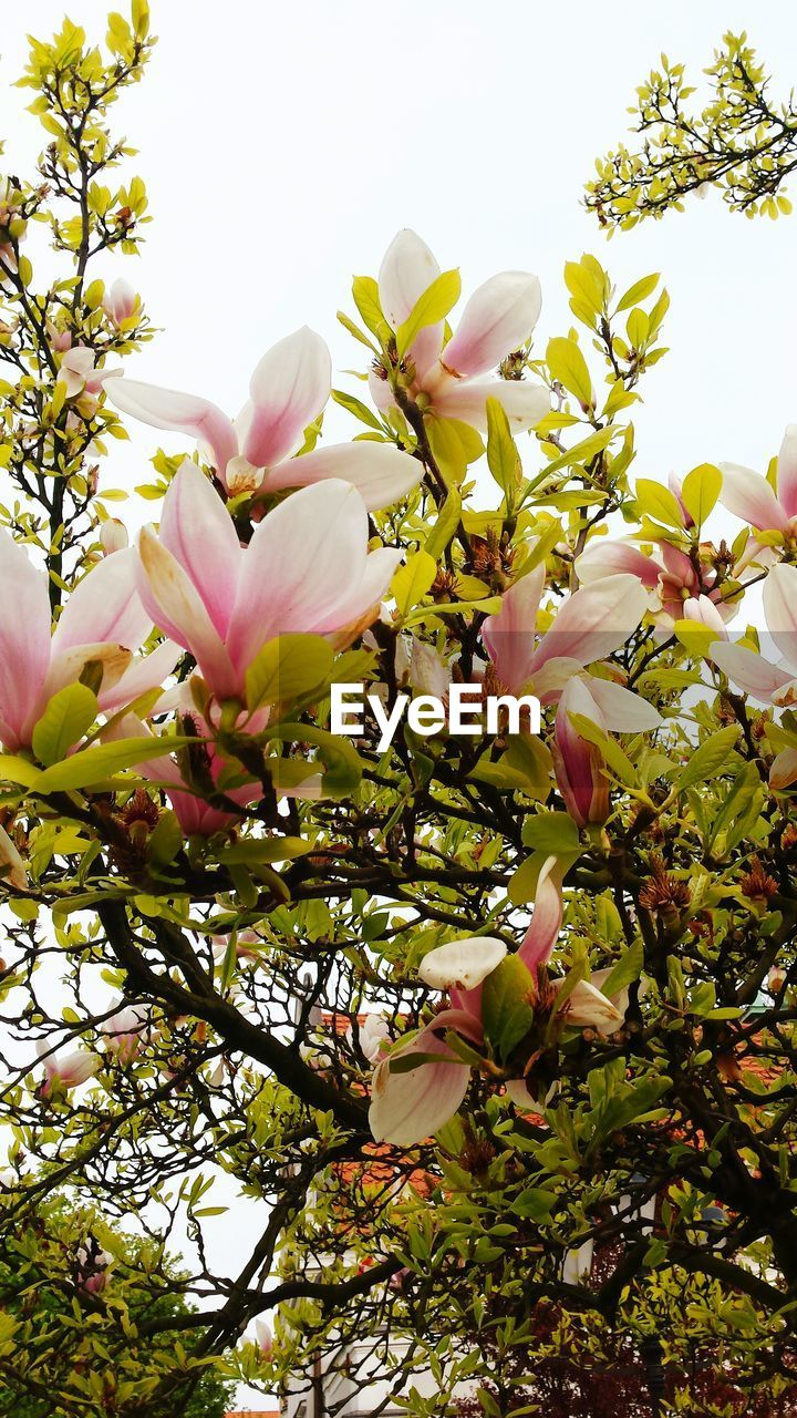 flower, petal, beauty in nature, growth, fragility, freshness, tree, nature, magnolia, blossom, white color, flower head, springtime, no people, pink color, branch, botany, low angle view, blooming, day, close-up, outdoors