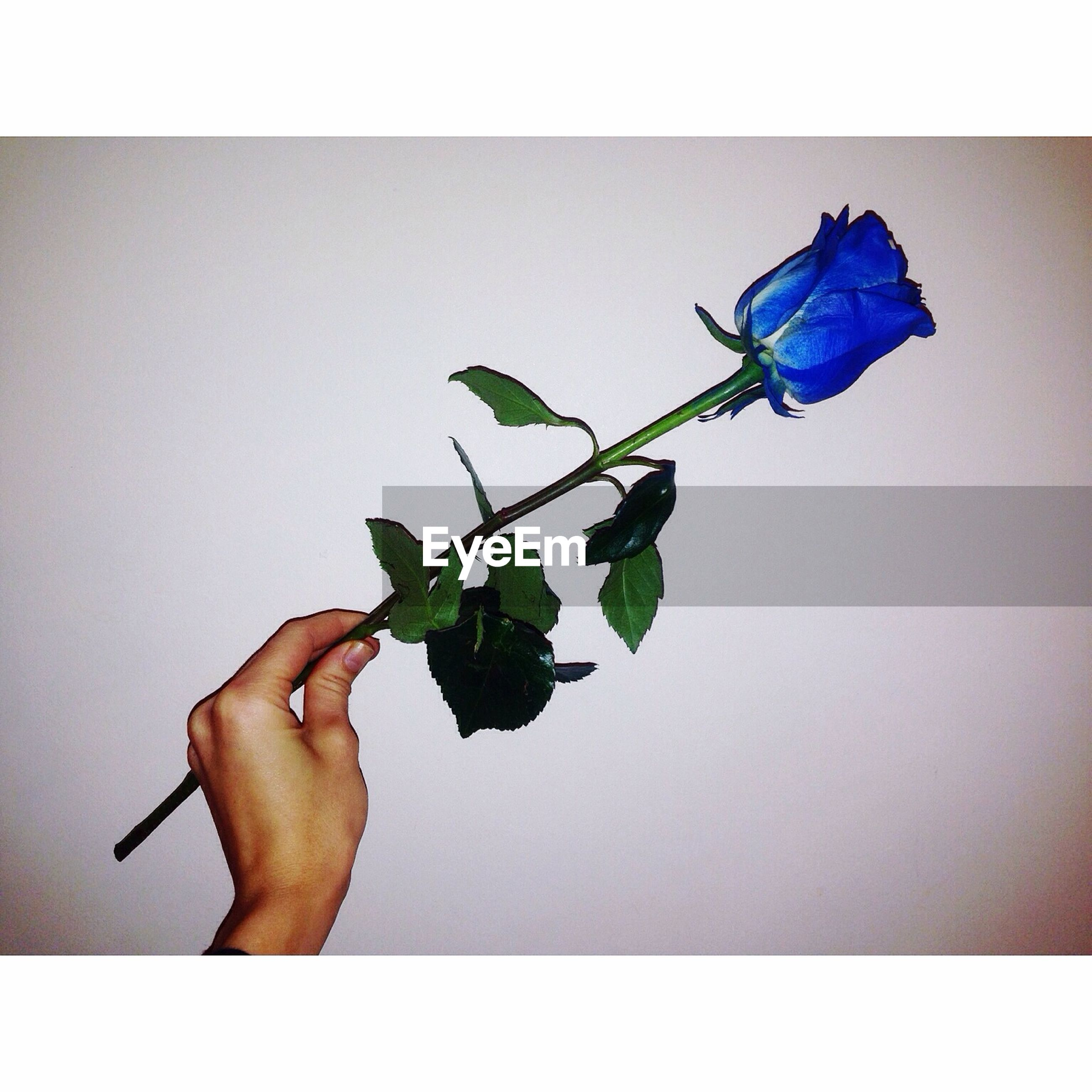 transfer print, person, auto post production filter, white background, leaf, holding, copy space, studio shot, part of, flower, plant, human finger, cropped, stem, close-up, wall - building feature, indoors