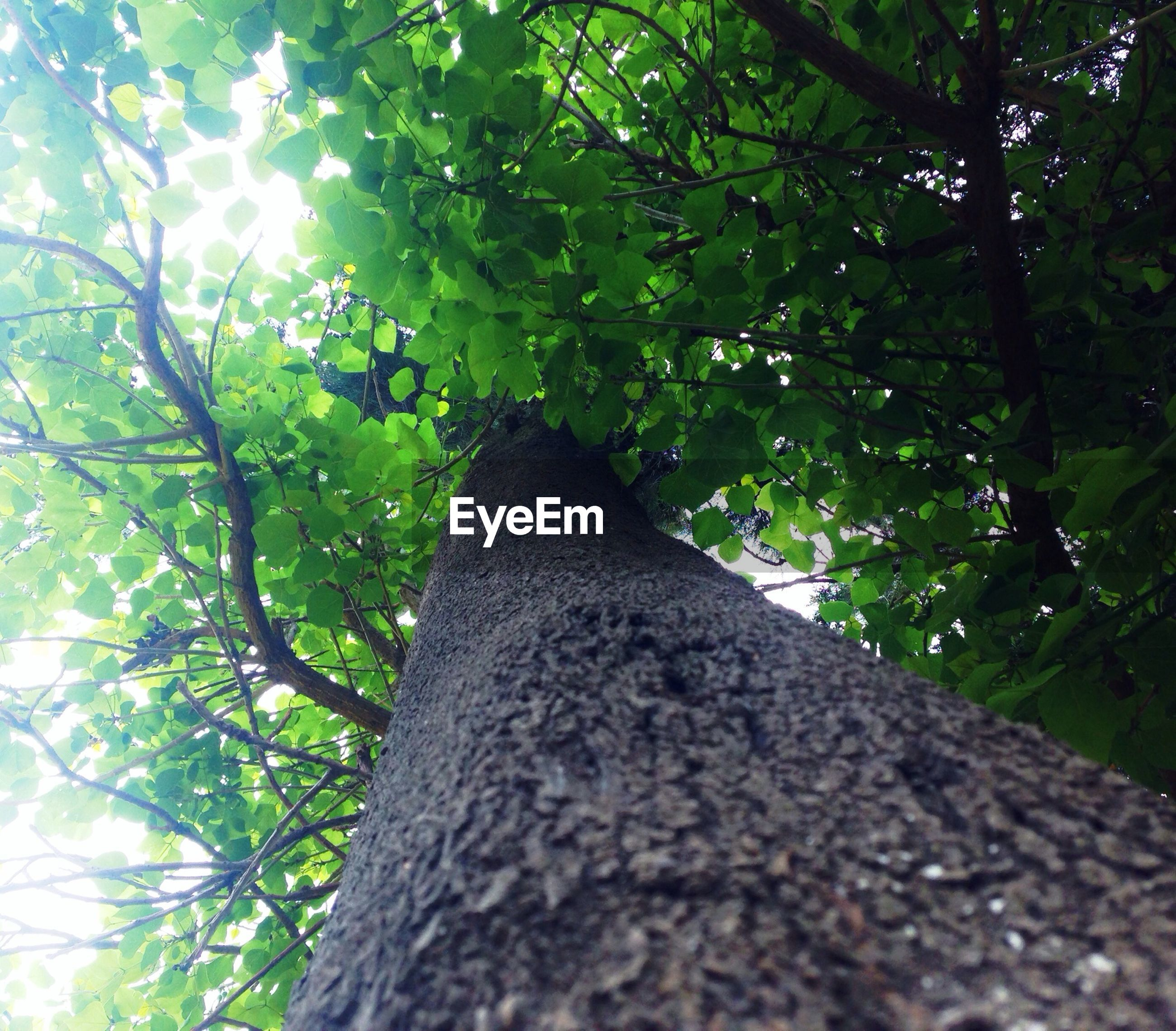 tree, low angle view, growth, branch, tree trunk, forest, nature, green color, tranquility, the way forward, leaf, sunlight, day, beauty in nature, outdoors, no people, wood - material, diminishing perspective, tranquil scene, sky
