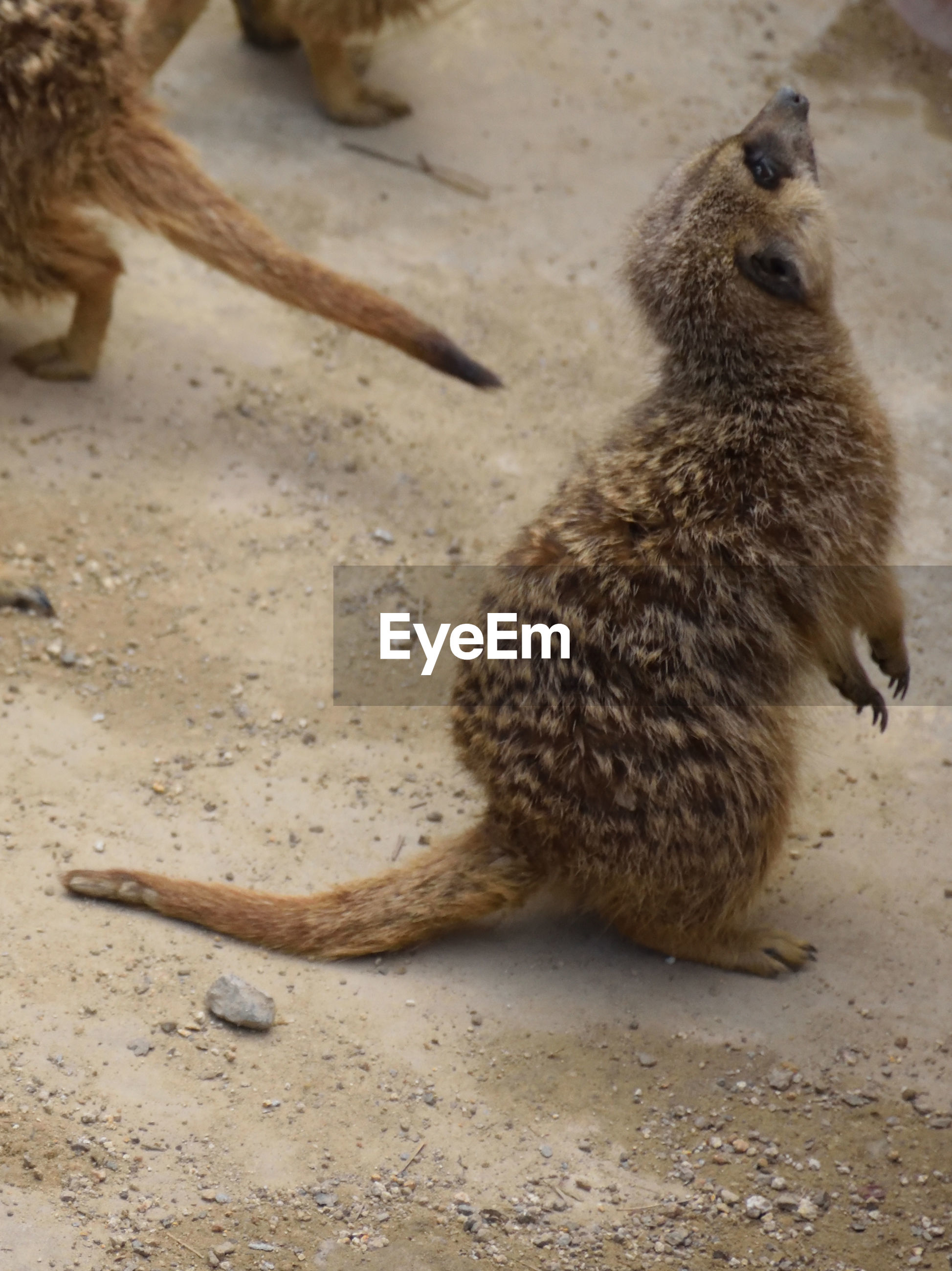 High angle view of meerkat sitting on sand