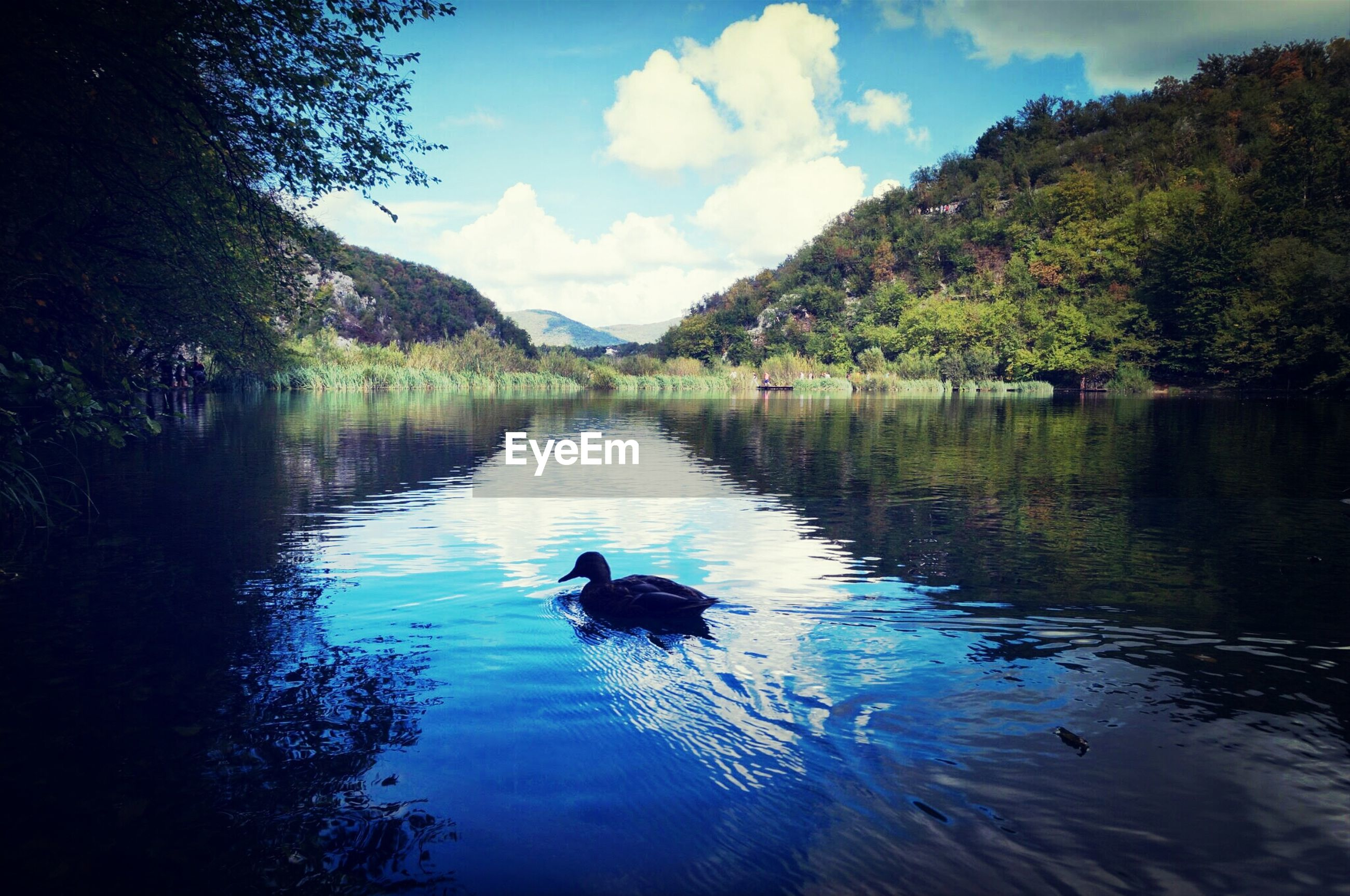 animal themes, water, lake, bird, animals in the wild, wildlife, reflection, swimming, one animal, waterfront, swan, duck, sky, nature, tree, tranquility, water bird, beauty in nature, tranquil scene, rippled