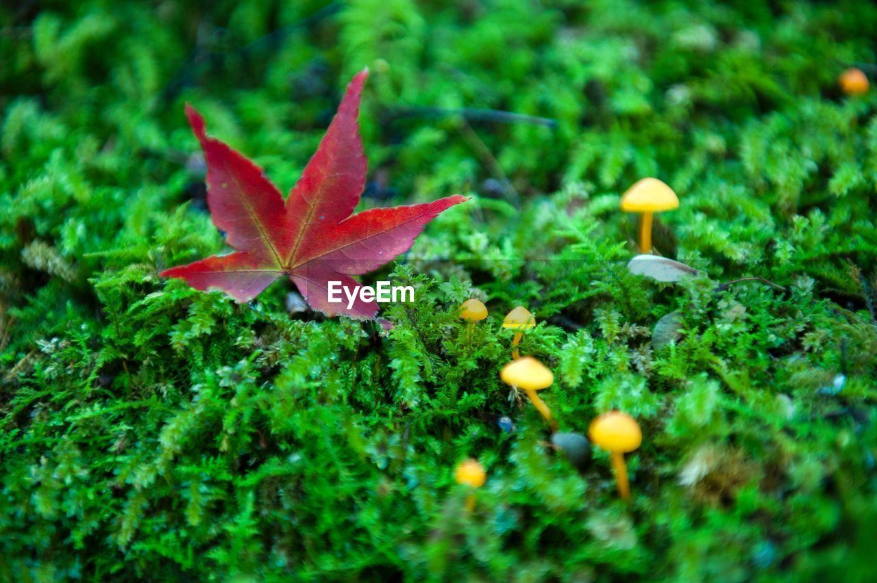 leaf, autumn, growth, nature, beauty in nature, change, green color, selective focus, outdoors, no people, maple leaf, day, fragility, close-up, maple, red, grass, freshness
