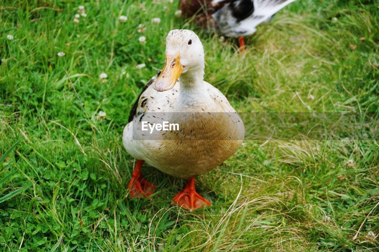 Duck perching on field