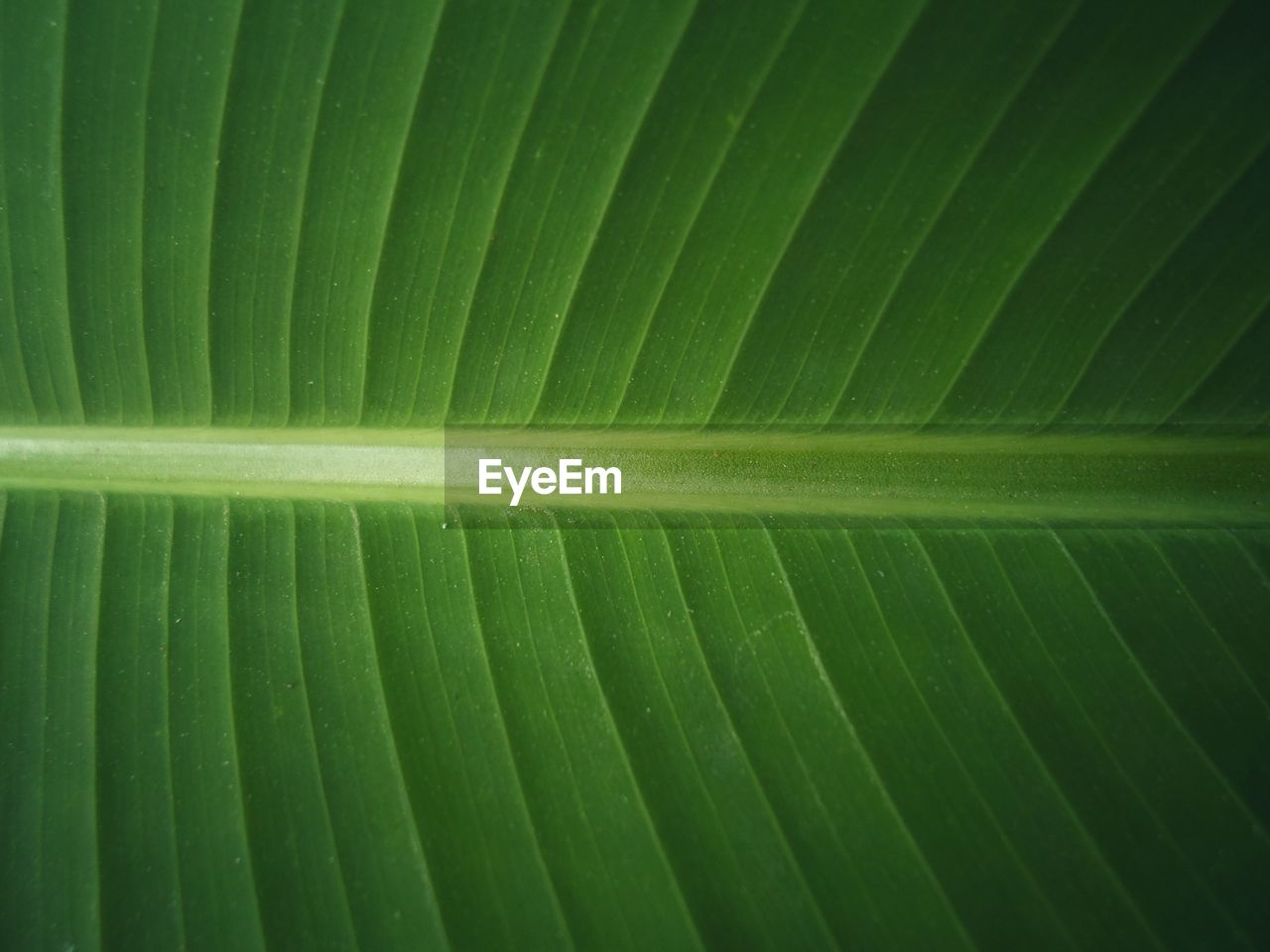 green color, full frame, backgrounds, close-up, leaf, no people, pattern, natural pattern, plant part, nature, beauty in nature, textured, banana leaf, growth, plant, freshness, leaf vein, leaves, repetition, outdoors, palm leaf