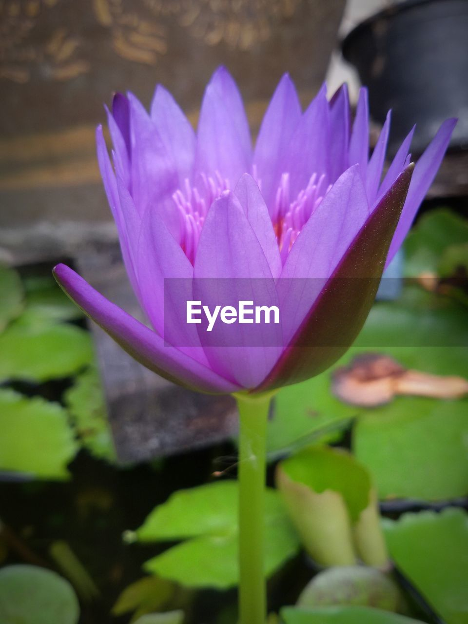 flower, beauty in nature, nature, fragility, growth, petal, freshness, flower head, purple, plant, day, no people, outdoors, close-up, water lily, lotus water lily, focus on foreground, lotus, leaf, blooming, water, crocus