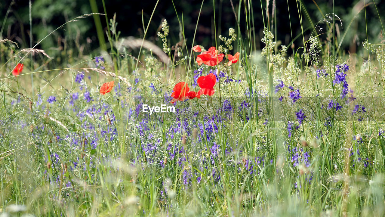 flower, flowering plant, plant, growth, fragility, vulnerability, beauty in nature, freshness, land, field, nature, selective focus, day, green color, tranquility, grass, no people, close-up, red, petal, outdoors, flower head, spring