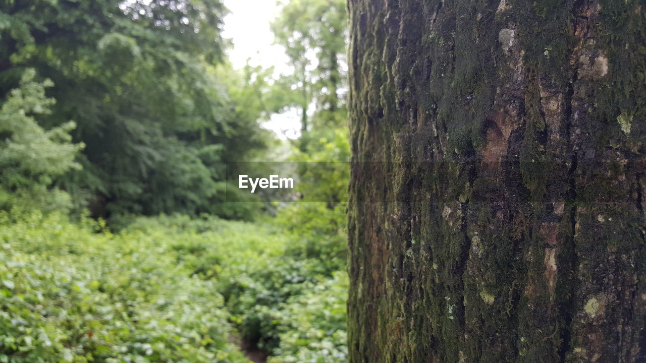 tree trunk, tree, nature, forest, day, focus on foreground, no people, outdoors, growth, green color, plant, beauty in nature, close-up
