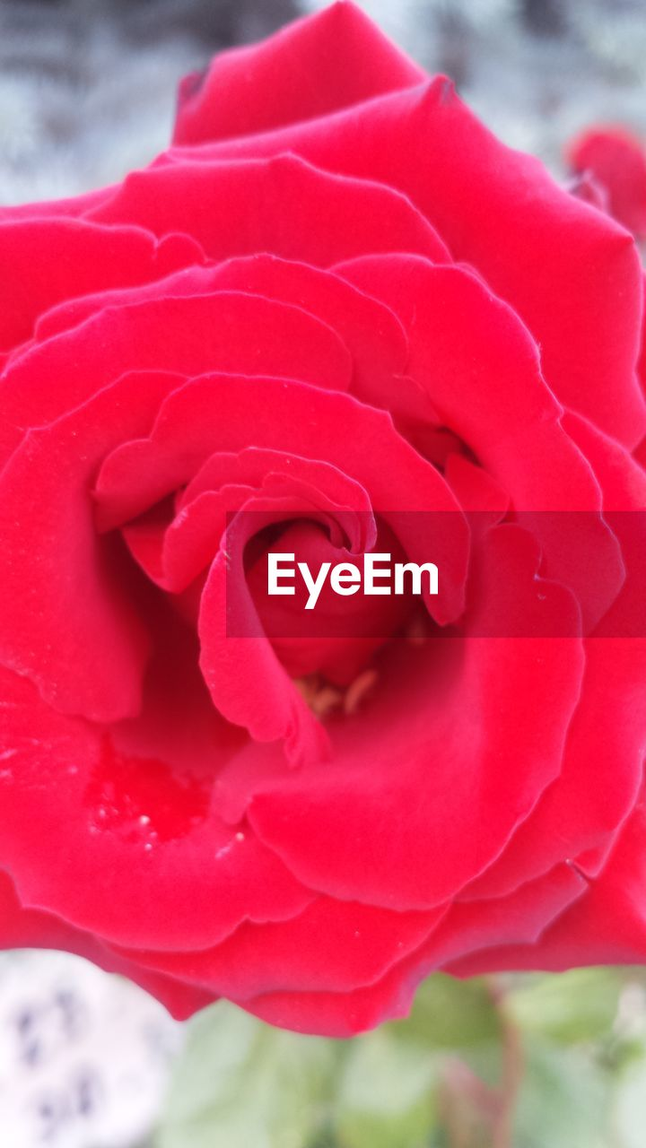 flower, beauty in nature, nature, petal, growth, fragility, close-up, plant, outdoors, red, flower head, freshness, rose - flower, no people, day, blooming