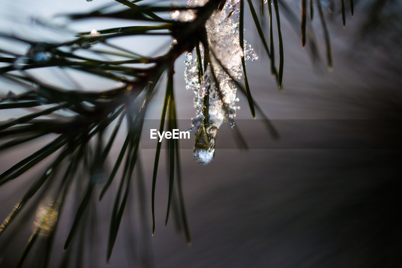 plant, close-up, cold temperature, winter, no people, nature, tree, selective focus, beauty in nature, focus on foreground, branch, outdoors, tranquility, water, frozen, ice, day, snow, growth, icicle, needle - plant part, pine tree, coniferous tree