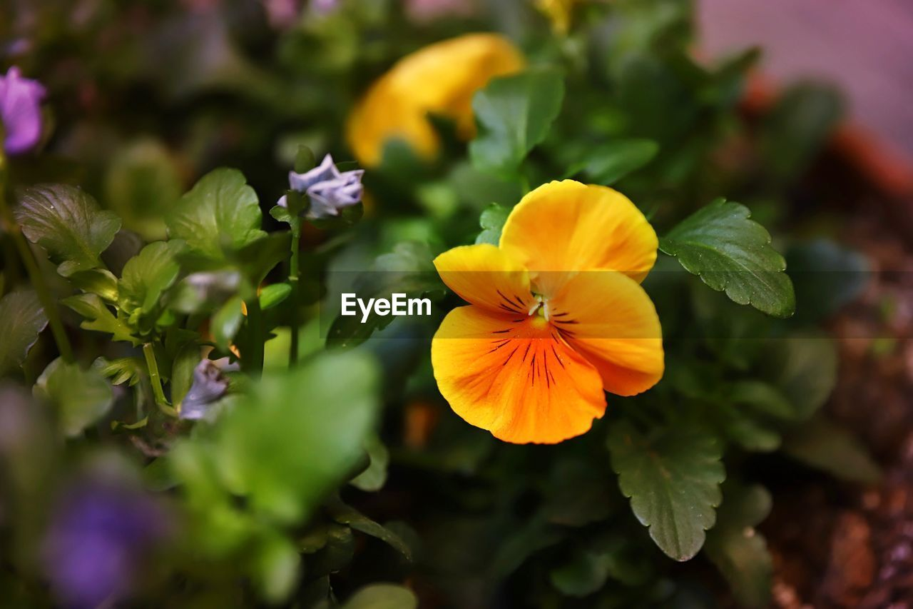 flowering plant, flower, plant, fragility, vulnerability, freshness, beauty in nature, petal, inflorescence, flower head, yellow, close-up, growth, nature, no people, selective focus, plant part, leaf, focus on foreground, pansy, pollen, gazania