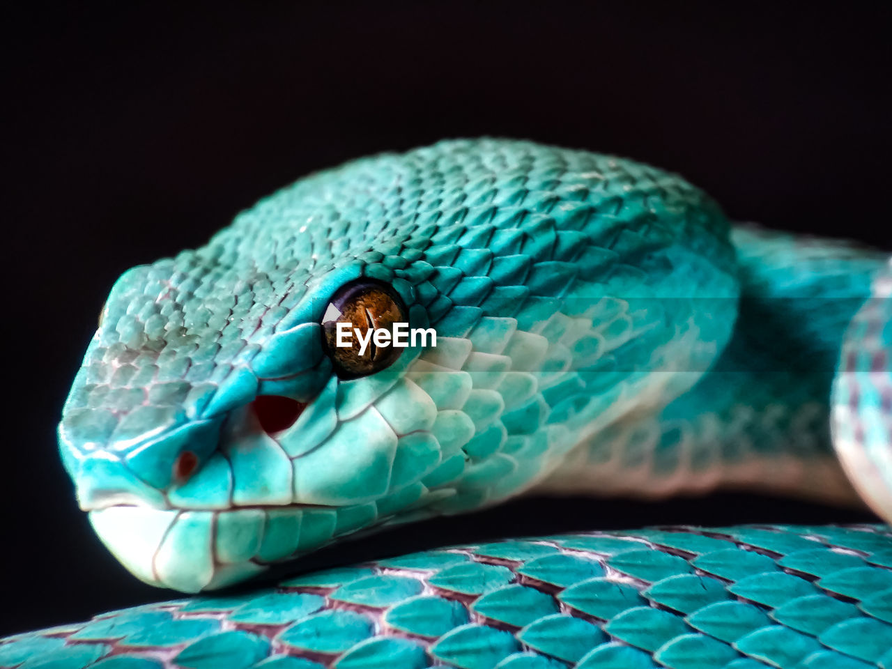 one animal, animal themes, close-up, animal, animal wildlife, reptile, animals in the wild, animal body part, snake, no people, vertebrate, black background, animal head, pattern, studio shot, indoors, green color, animal eye, animal scale, focus on foreground, poisonous, turquoise colored