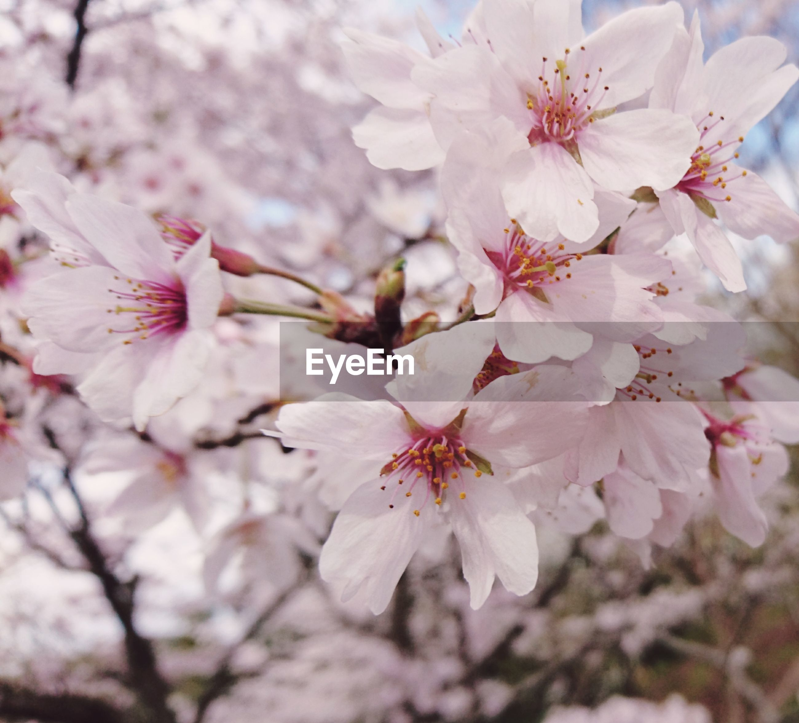 nature, beauty in nature, flower, close-up, growth, blossom, fragility, cherry tree, no people, outdoors, tree, cherry blossom, springtime, branch, petal, pink color, flower head, plant, almond tree, freshness, day, plum blossom