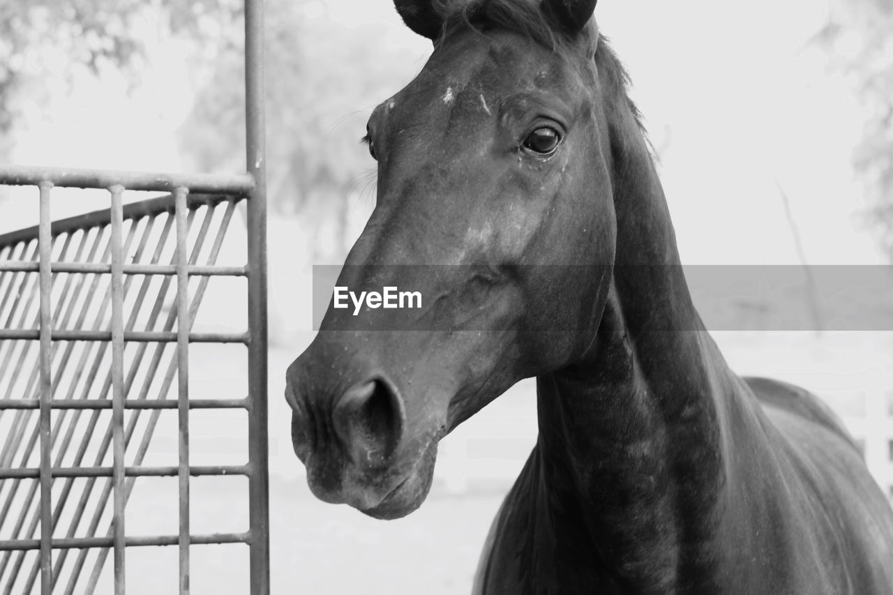 mammal, animal, domestic animals, animal themes, one animal, horse, domestic, livestock, vertebrate, animal wildlife, pets, focus on foreground, animal body part, animal head, close-up, day, herbivorous, no people, looking, outdoors, animal pen, animal mouth, ranch