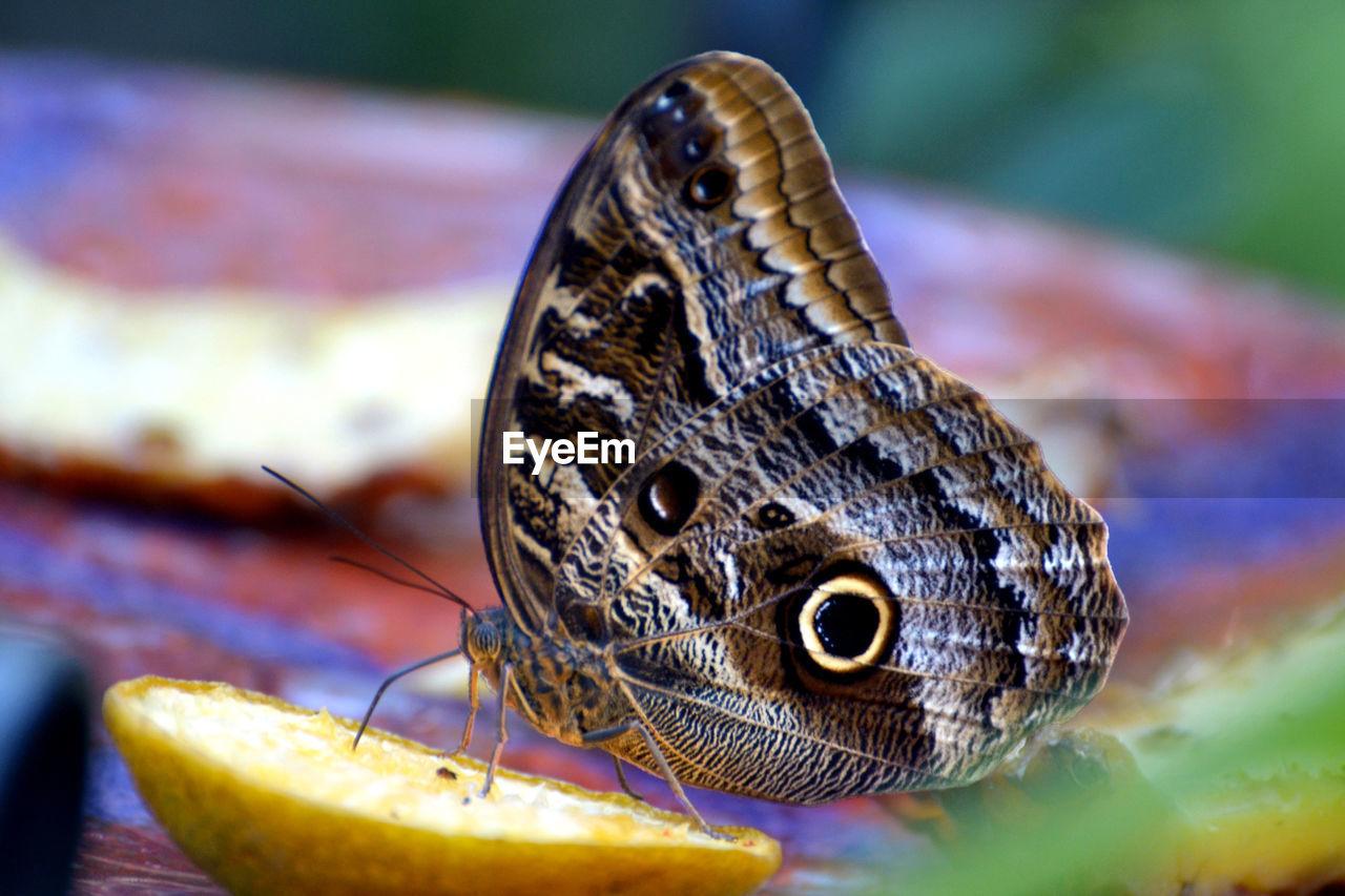Close-up of butterfly on lemon