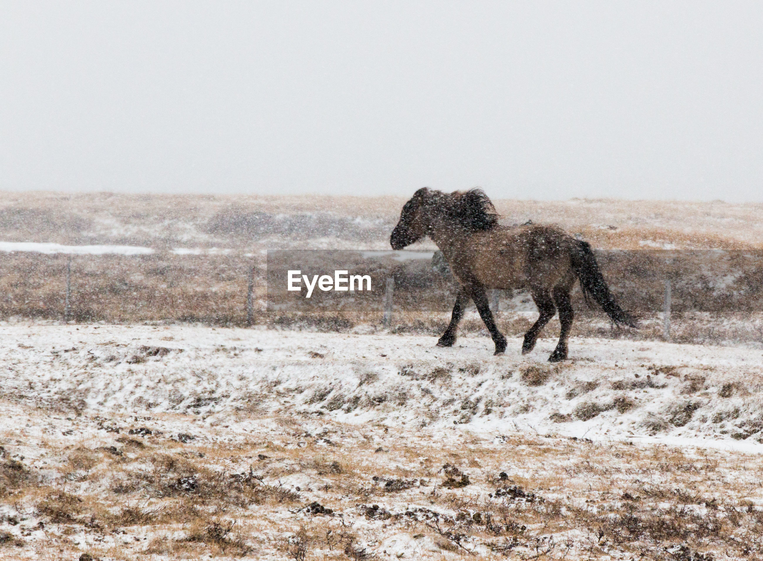 Horse walking on snow covered land during snowfall