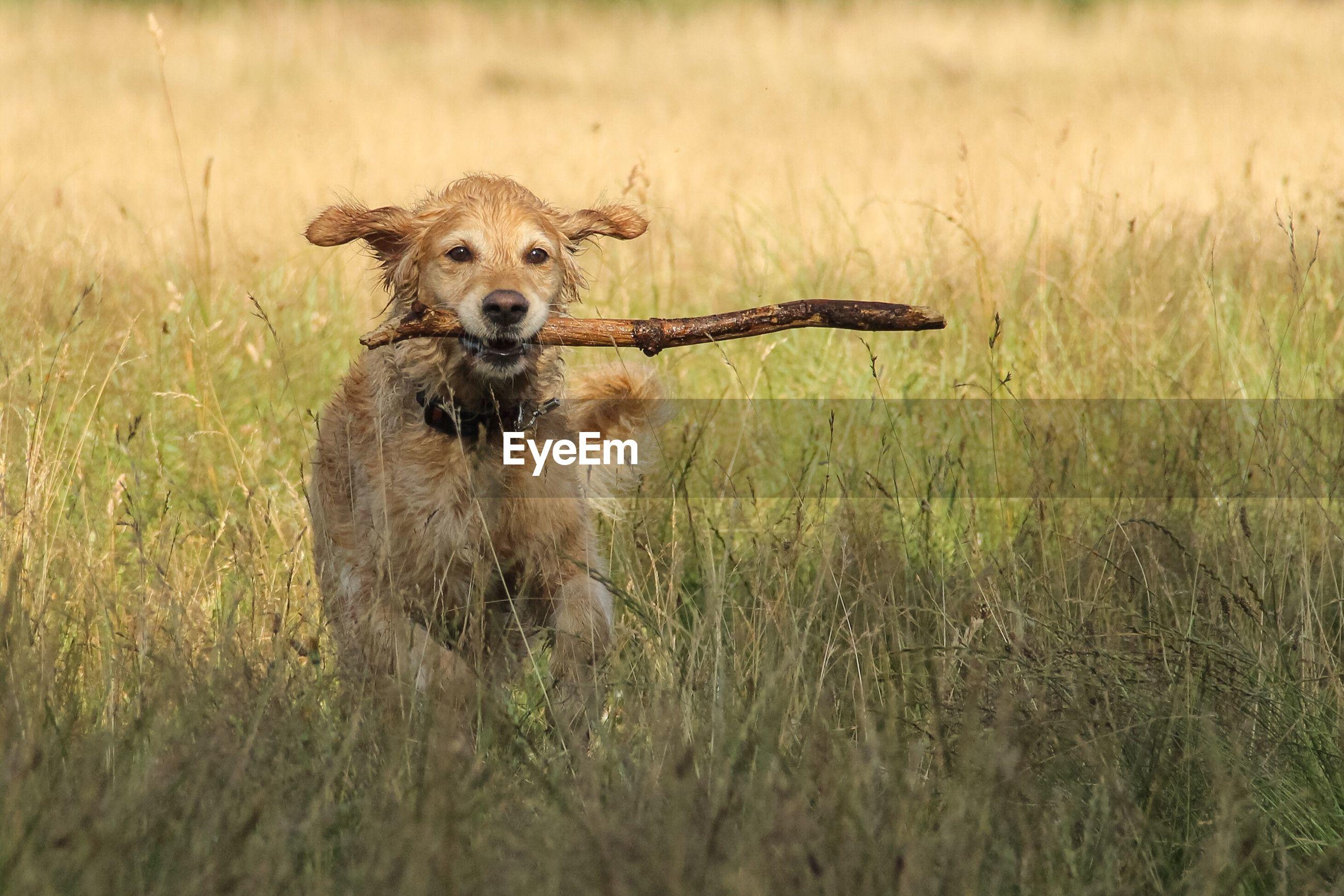Portrait of golden retriever carrying stick on grassy field
