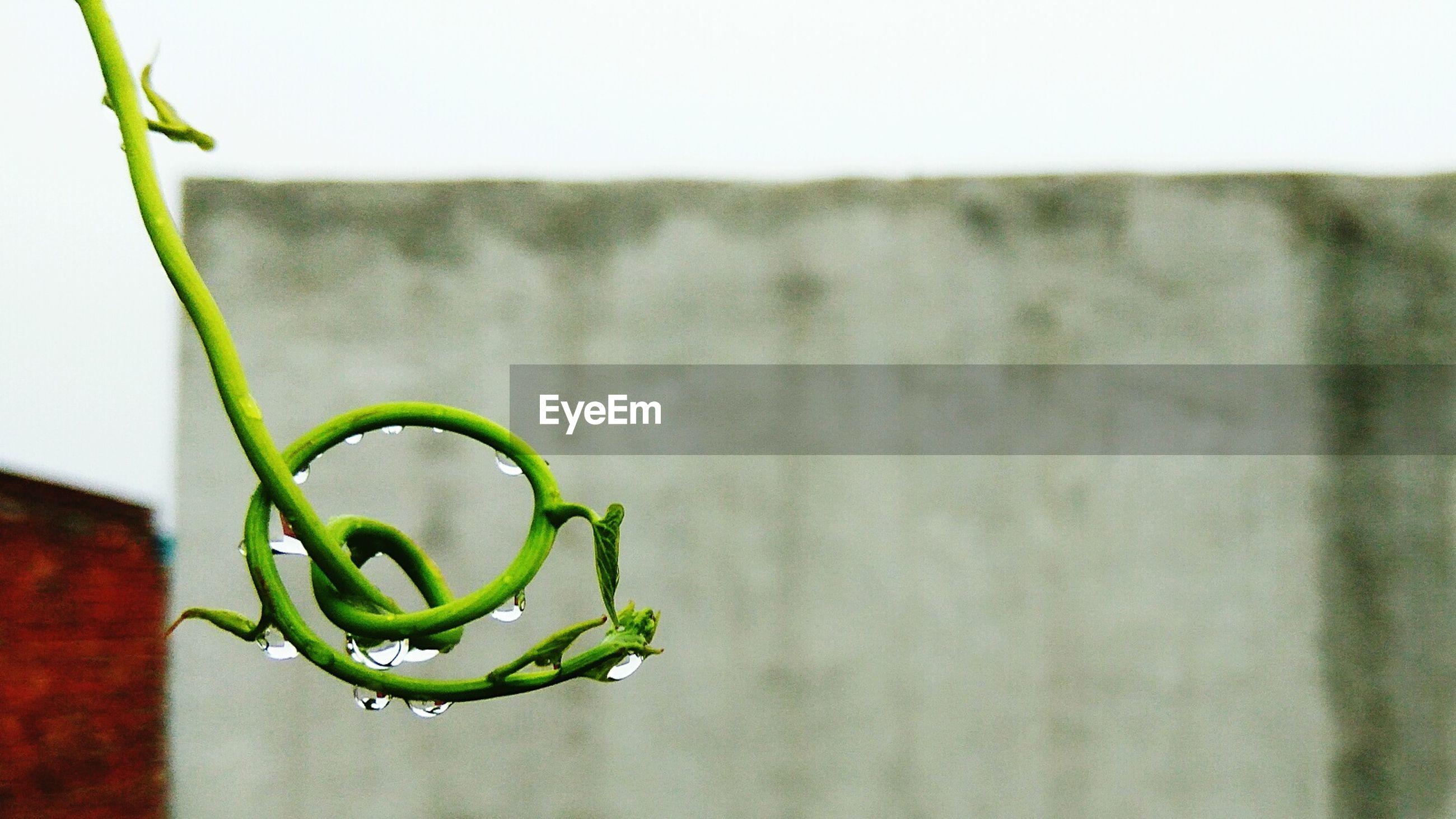 Close-up of raindrops on creeper plant against wall during rainy season