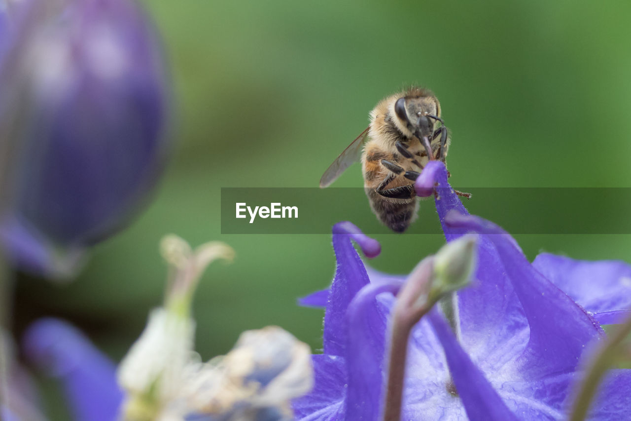flowering plant, flower, vulnerability, fragility, invertebrate, plant, beauty in nature, animals in the wild, animal wildlife, animal themes, one animal, bee, animal, insect, close-up, petal, freshness, growth, flower head, selective focus, purple, pollination, no people