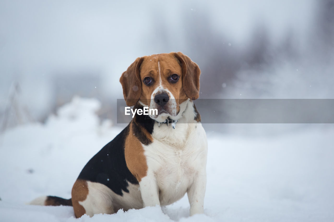 canine, dog, one animal, pets, mammal, animal themes, domestic, domestic animals, animal, snow, vertebrate, winter, cold temperature, portrait, no people, looking at camera, sitting, focus on foreground, looking, purebred dog