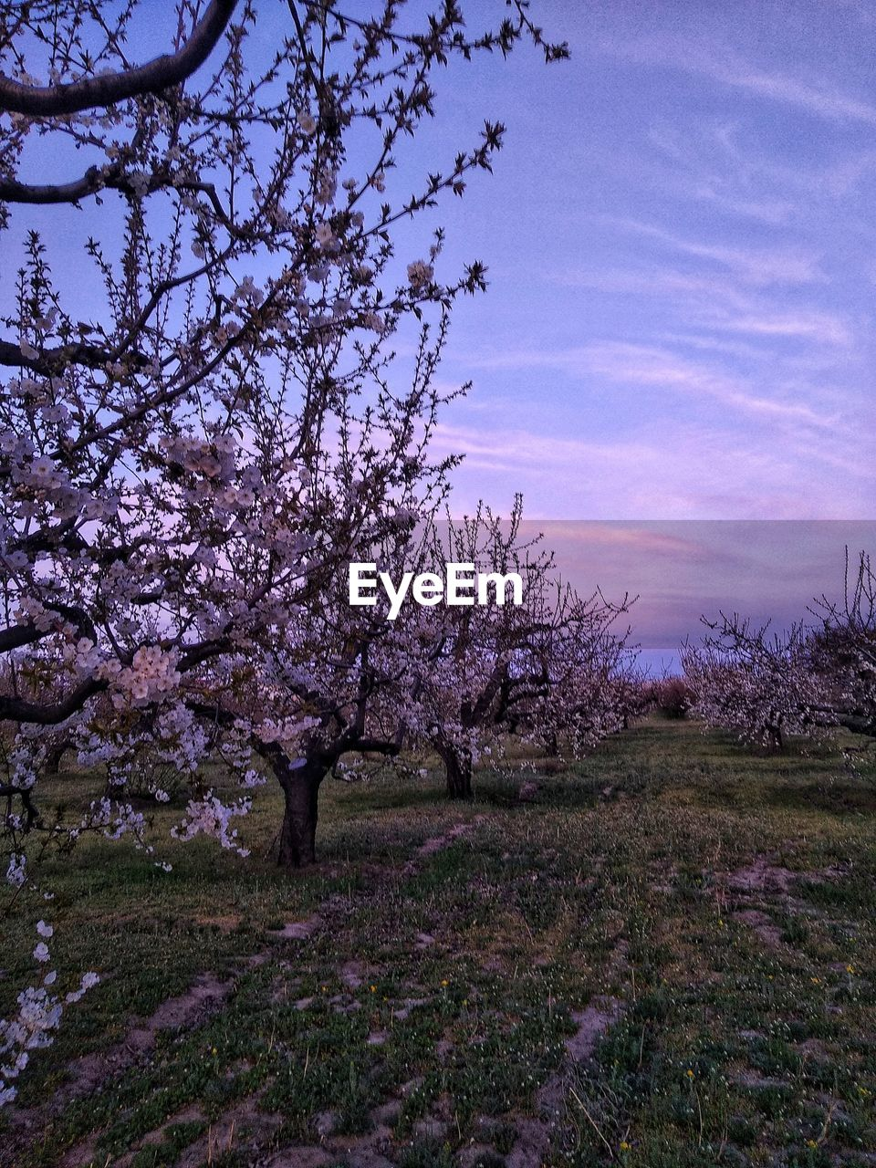 plant, beauty in nature, tree, sky, flower, growth, blossom, flowering plant, nature, tranquility, tranquil scene, scenics - nature, springtime, landscape, environment, field, land, no people, freshness, cloud - sky, outdoors, cherry blossom, cherry tree, purple
