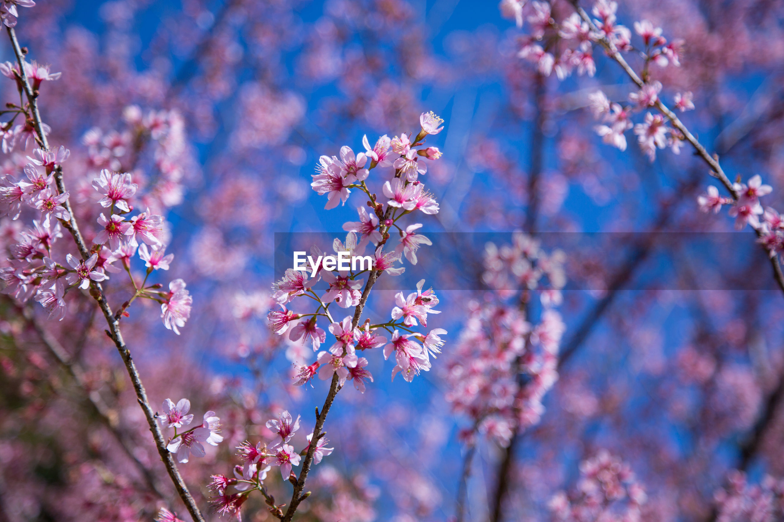 CLOSE-UP OF PINK FLOWERS ON TREE IN SPRING