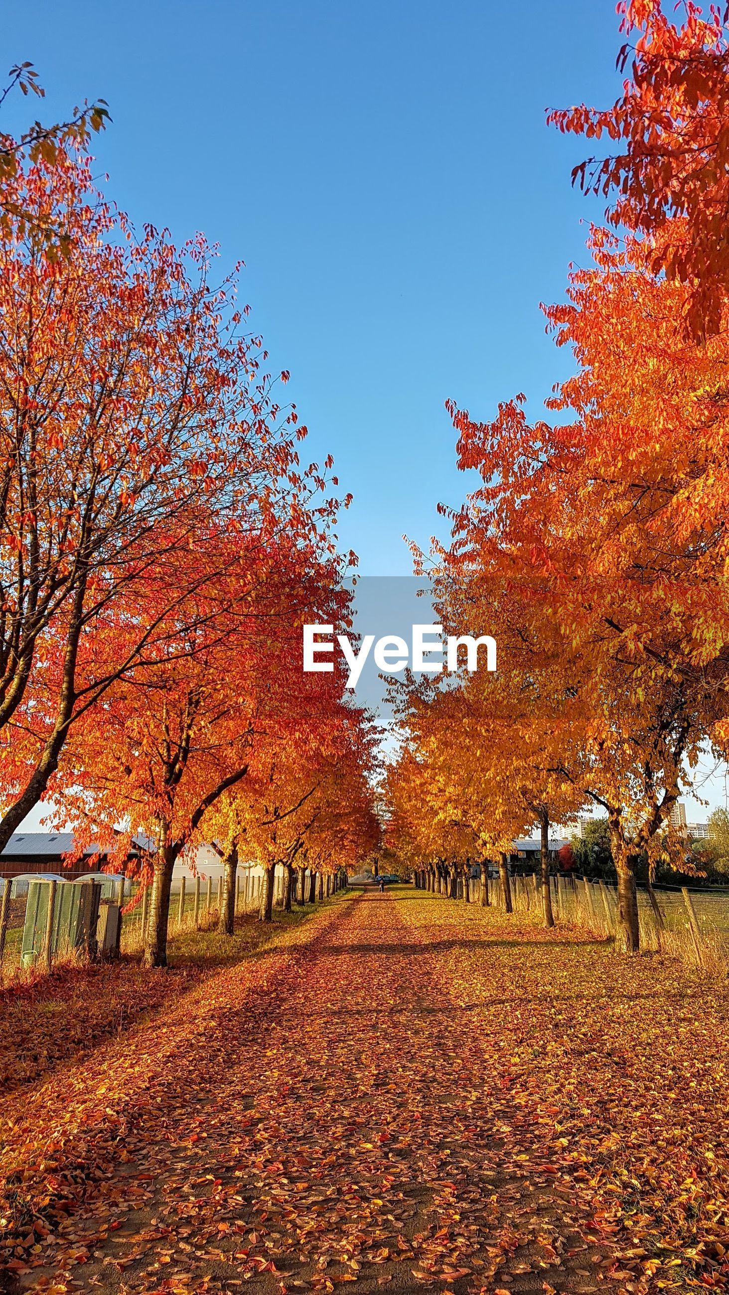 AUTUMN TREES AGAINST SKY