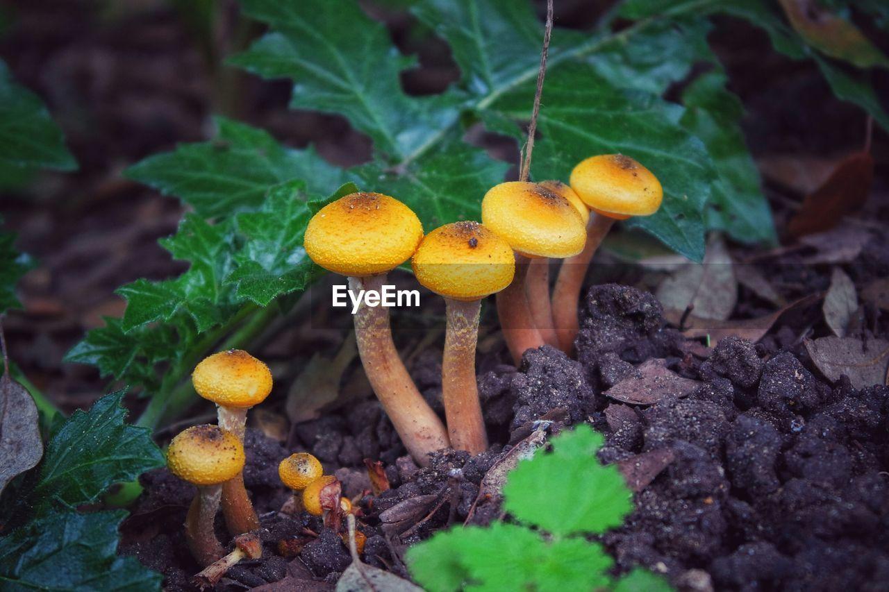 Close-up of fresh mushrooms amidst grass