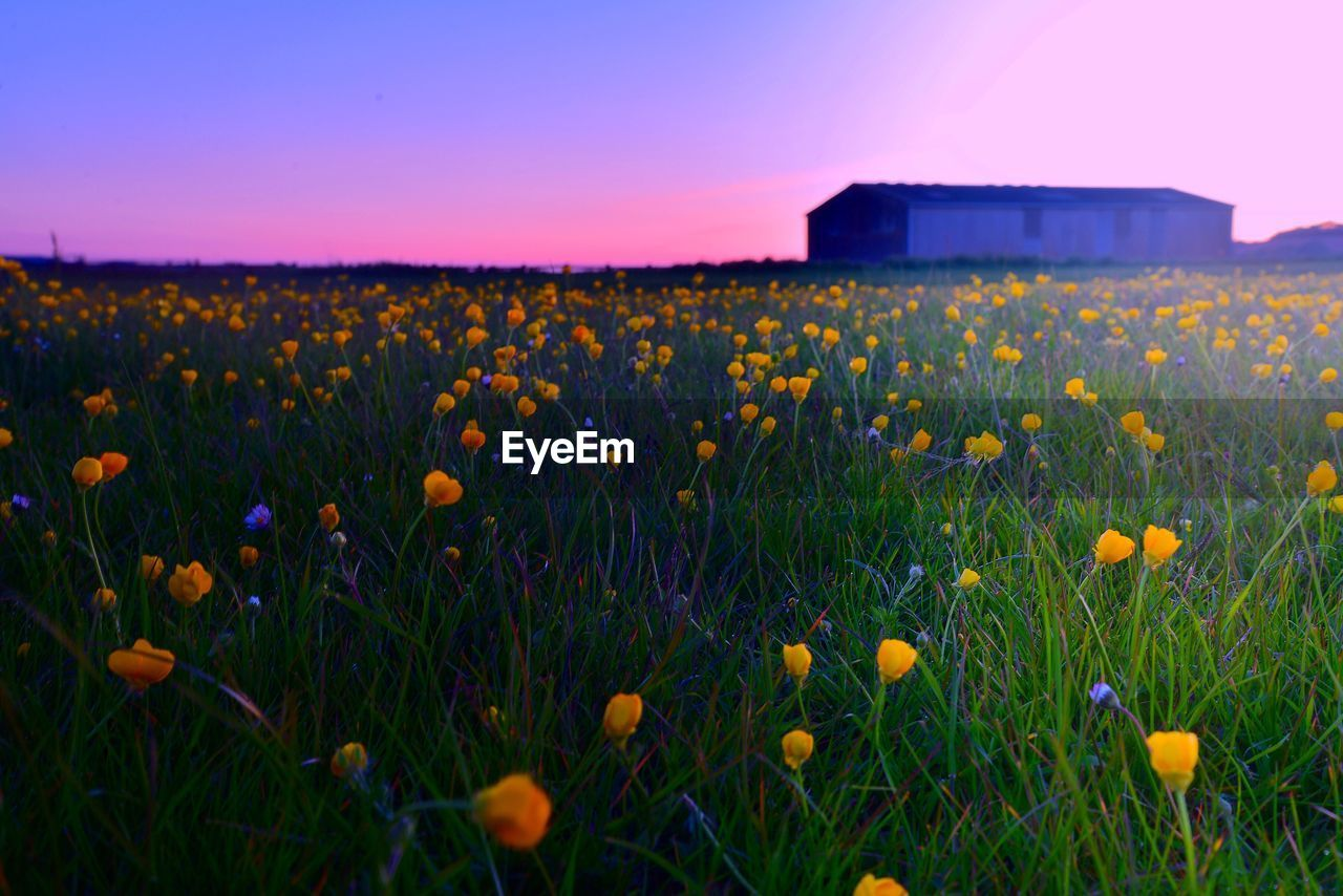 Yellow flowers blooming at sunset