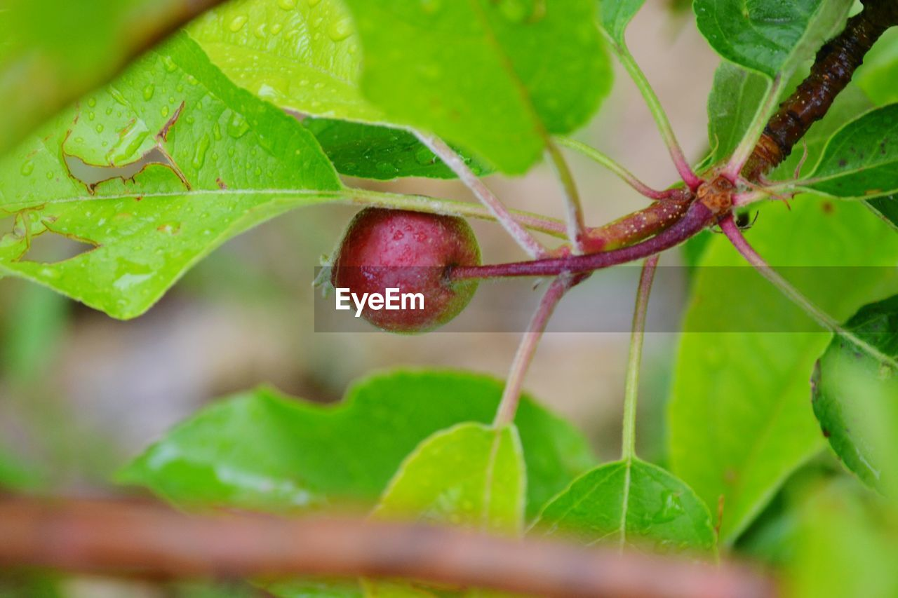 food and drink, leaf, food, fruit, plant part, close-up, green color, growth, healthy eating, selective focus, red, freshness, no people, plant, nature, wellbeing, day, ripe, beauty in nature, outdoors, dew