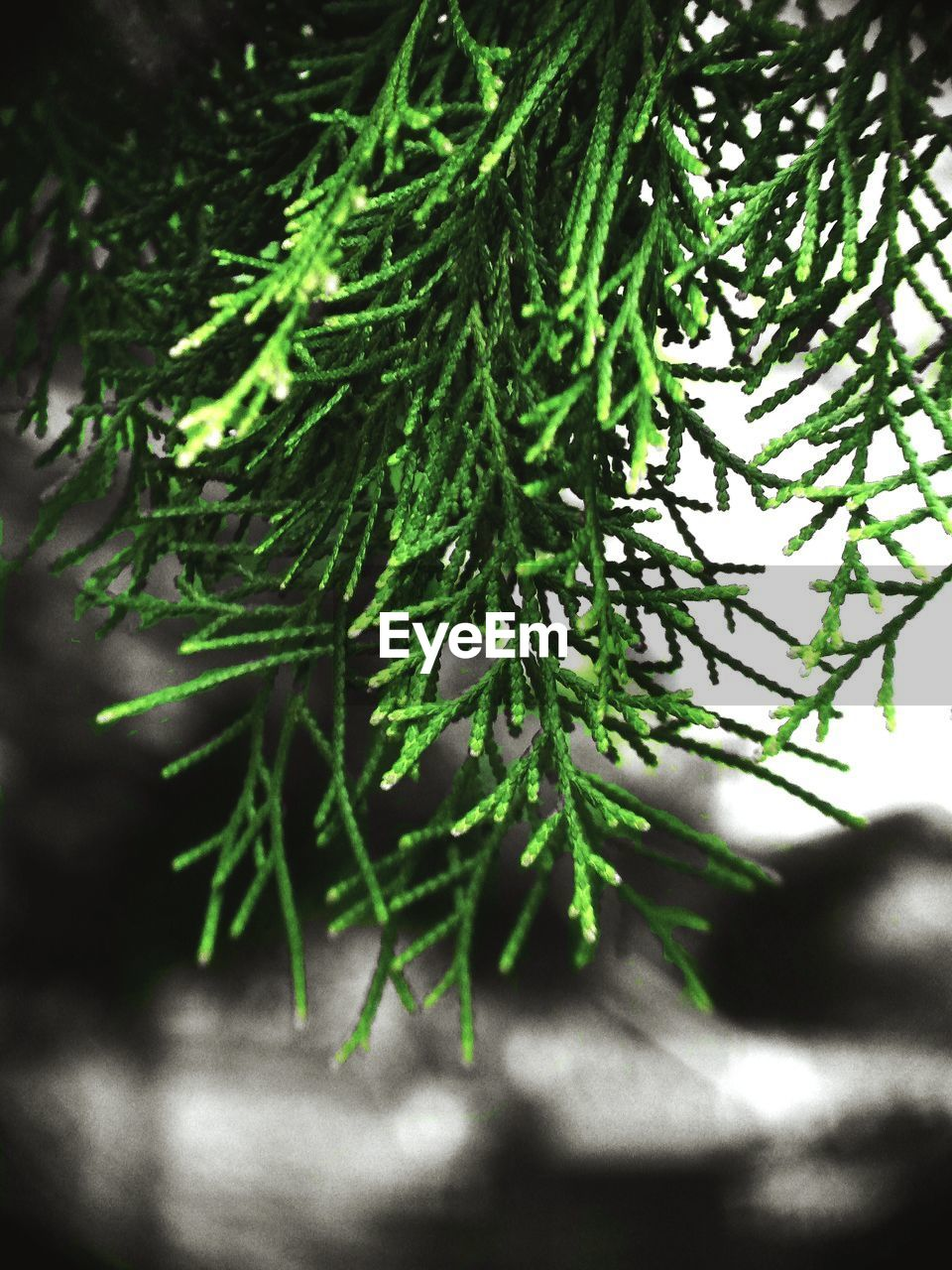 plant, green color, growth, selective focus, leaf, plant part, close-up, nature, beauty in nature, no people, day, tree, branch, outdoors, tranquility, pine tree, coniferous tree, freshness, needle - plant part, sunlight, fir tree