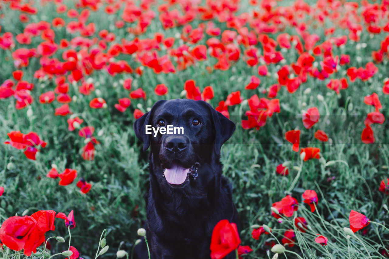 one animal, flowering plant, canine, flower, domestic, pets, dog, plant, animal themes, animal, mammal, domestic animals, growth, nature, beauty in nature, red, vertebrate, petal, freshness, no people, outdoors, springtime, flower head, animal head, purebred dog