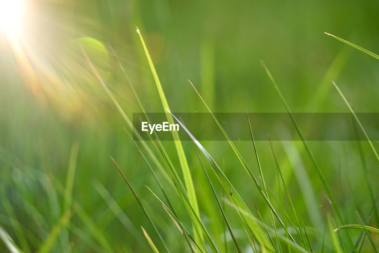 plant, green color, beauty in nature, growth, nature, grass, sunlight, tranquility, day, selective focus, close-up, field, no people, land, outdoors, blade of grass, lens flare, freshness, fragility, sunbeam, bright