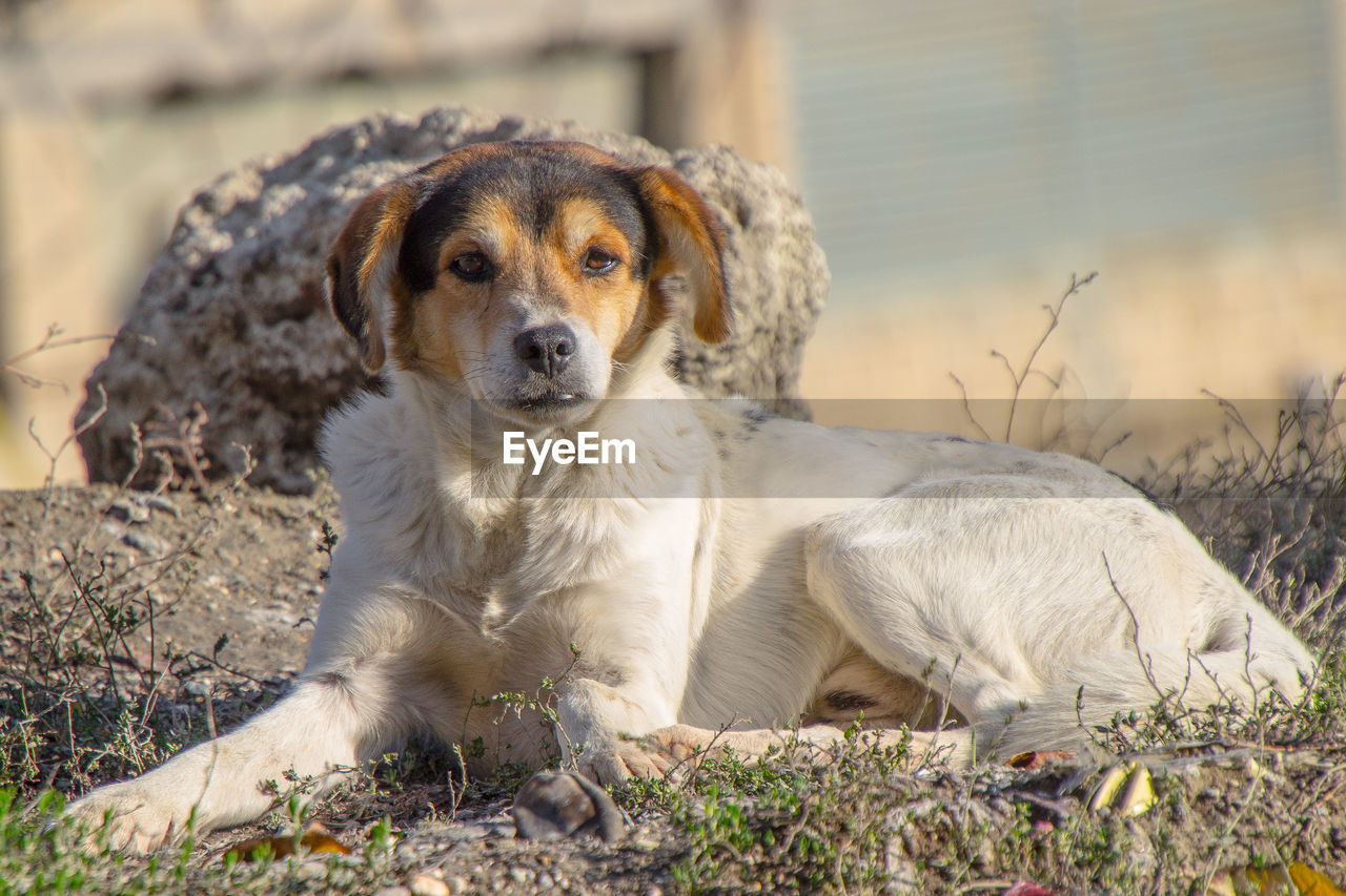 one animal, animal themes, dog, canine, animal, mammal, domestic, pets, domestic animals, portrait, looking at camera, vertebrate, land, sitting, no people, field, focus on foreground, day, relaxation, nature