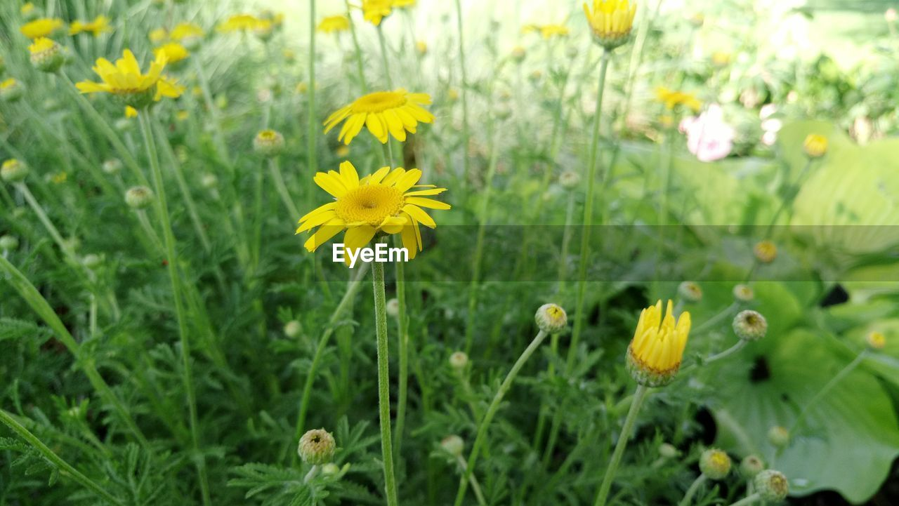 flower, yellow, growth, nature, plant, petal, blooming, beauty in nature, fragility, field, freshness, flower head, no people, outdoors, close-up, day
