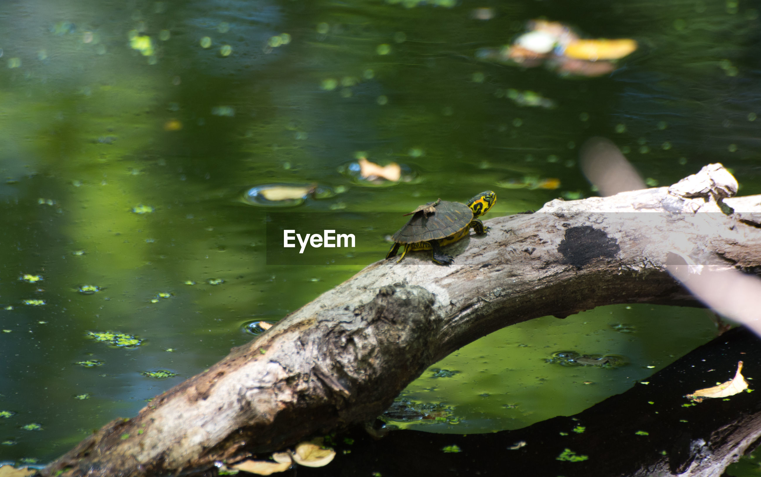 High angle view of turtle on tree trunk in lake