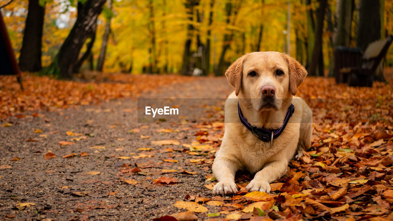 dog, canine, one animal, pets, mammal, domestic, autumn, animal themes, domestic animals, animal, plant part, leaf, change, land, vertebrate, tree, nature, no people, day, forest, leaves, outdoors