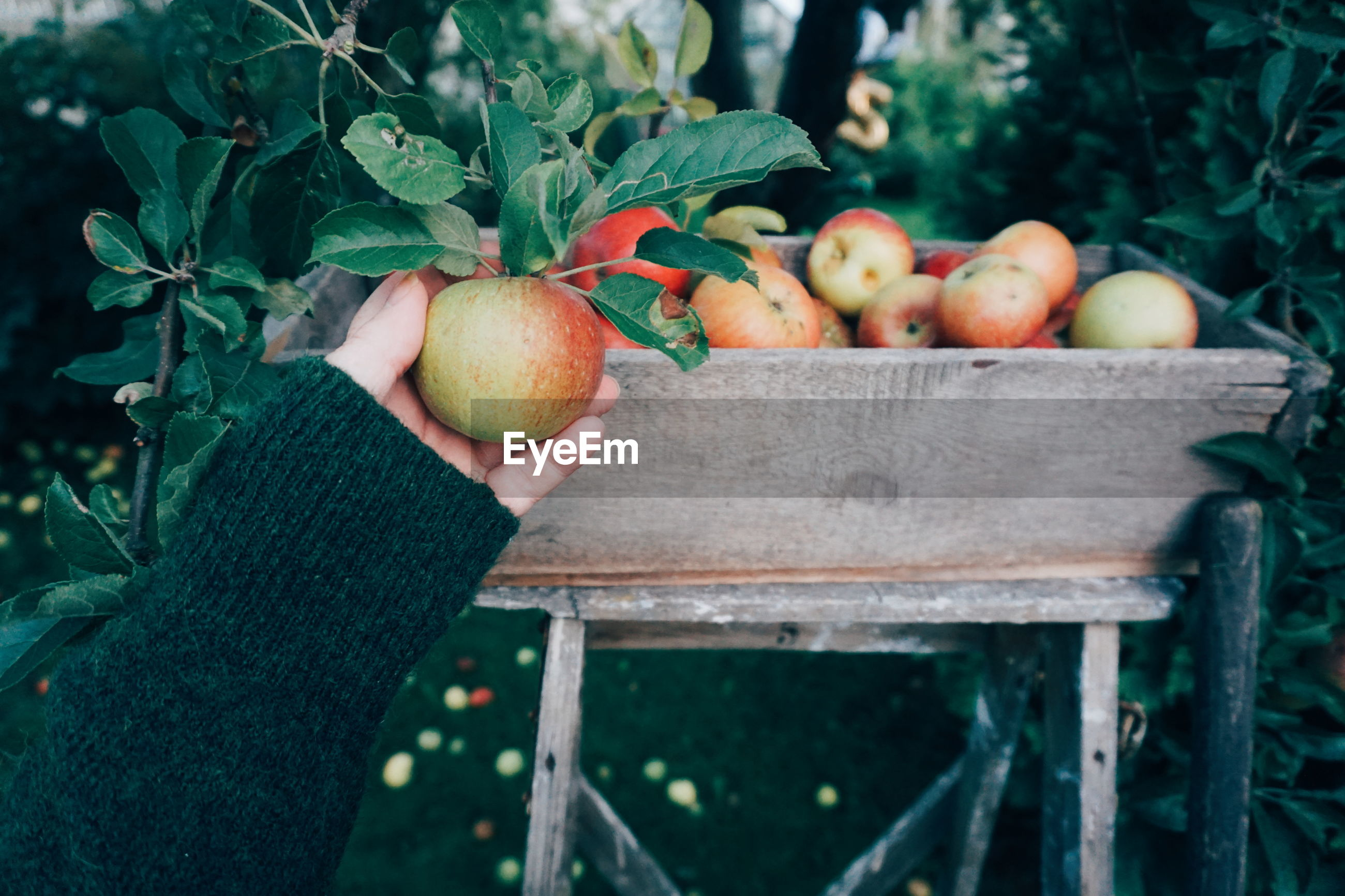 Cropped hand holding apple in orchard