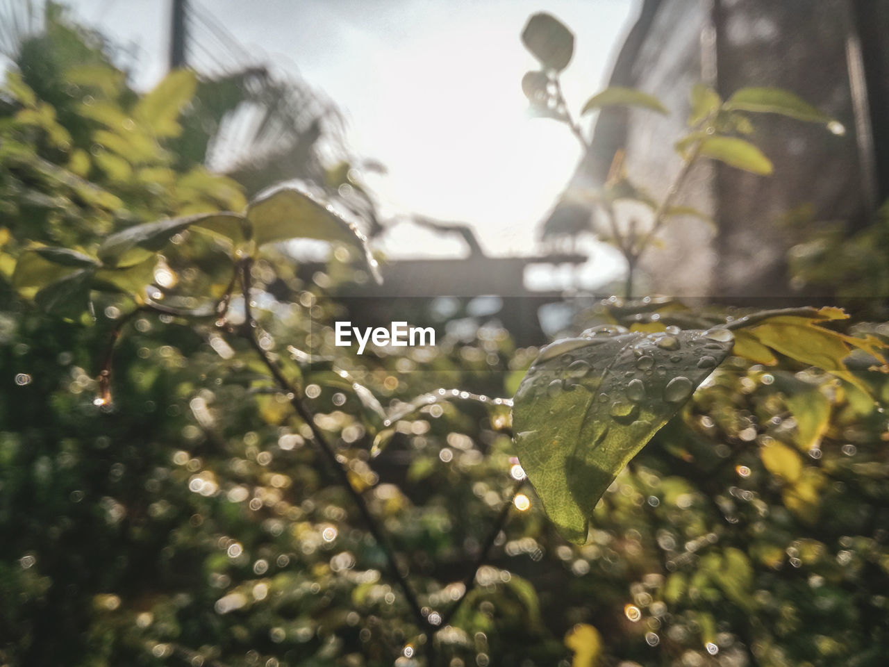 plant, leaf, growth, plant part, drop, nature, water, wet, beauty in nature, close-up, selective focus, no people, day, green color, focus on foreground, sunlight, outdoors, tree, freshness, rain, dew, leaves, raindrop, rainy season, purity
